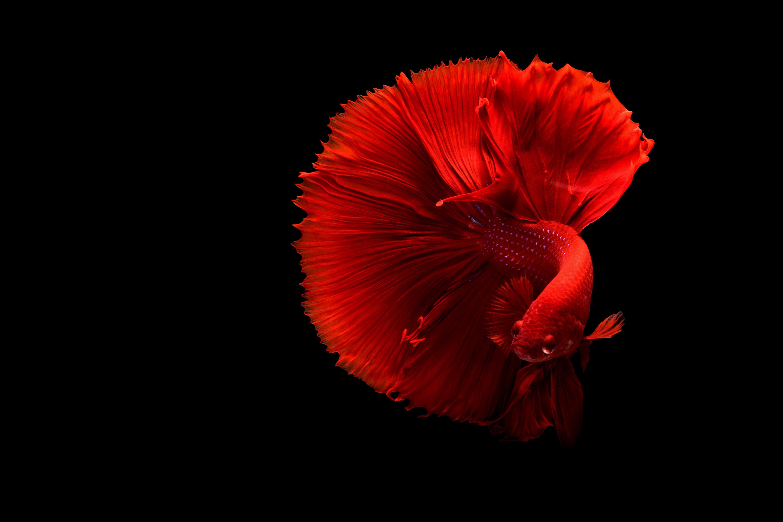 Red Siamese Fighting Beta Fish Wallpaper - iDrop News