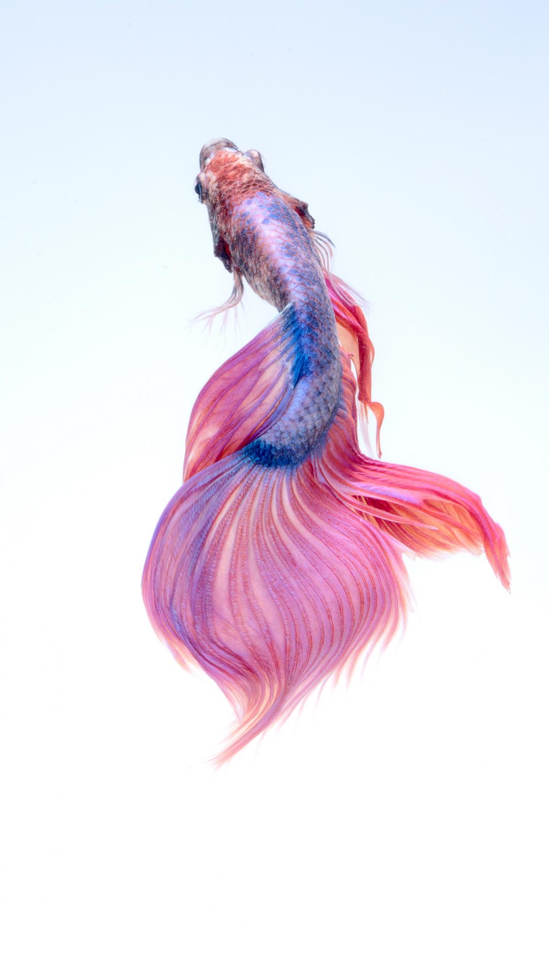 Siamese Beta Fish Wallpaper