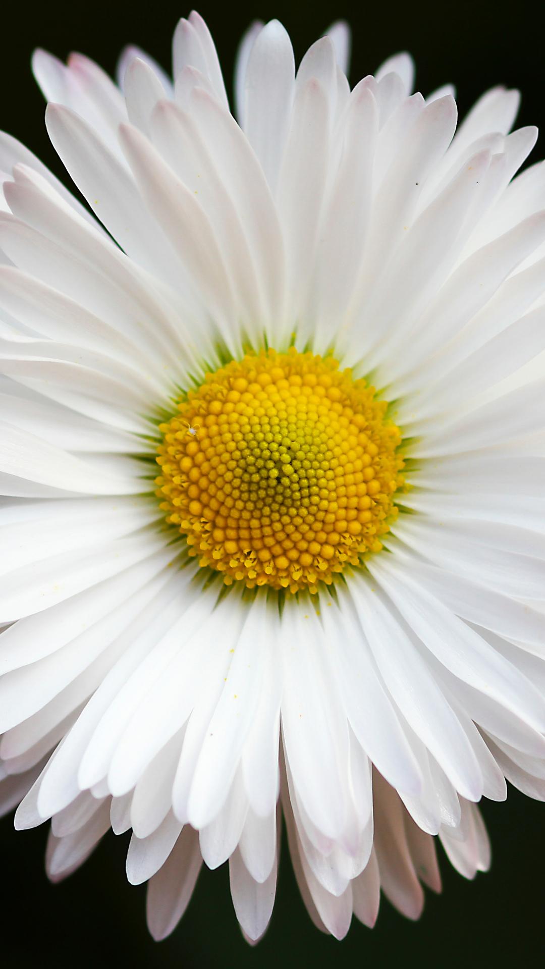 Brilliant White Daisy iPhone Wallpaper
