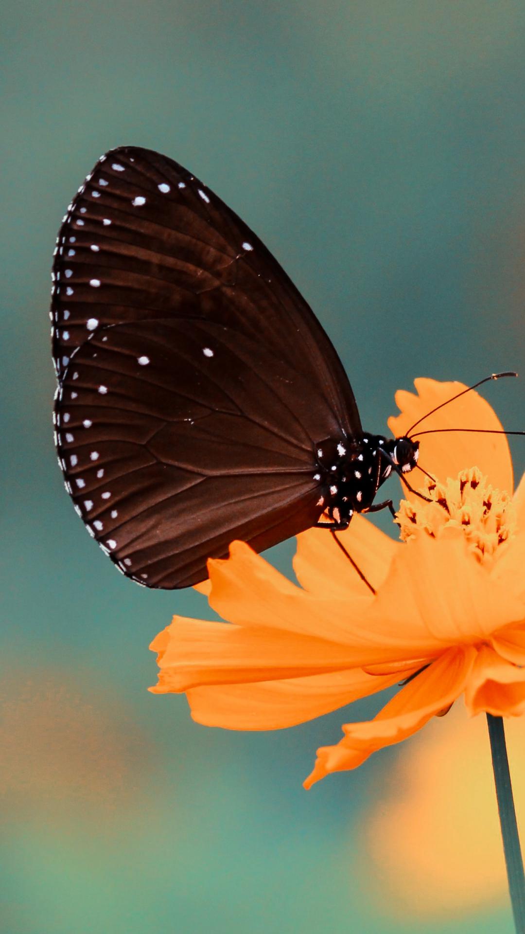 Black Butterfly iPhone Wallpaper