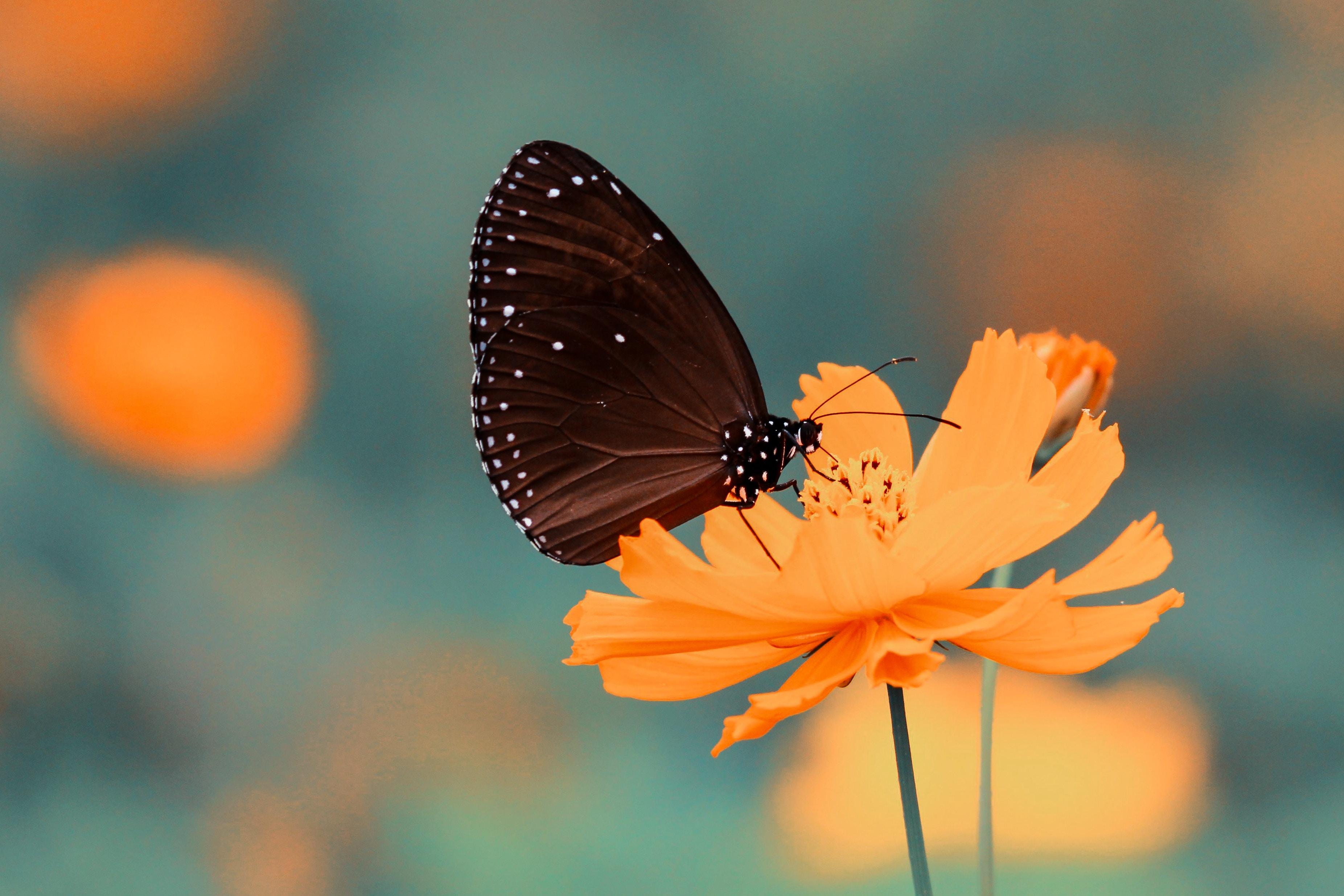 Black Butterfly Iphone Wallpaper Idrop News