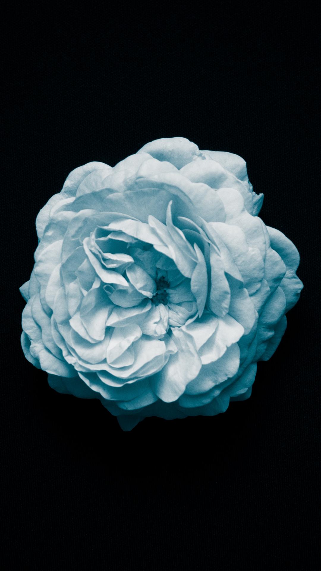 Flower, White, Macro, Minimalism iPhone Wallpaper