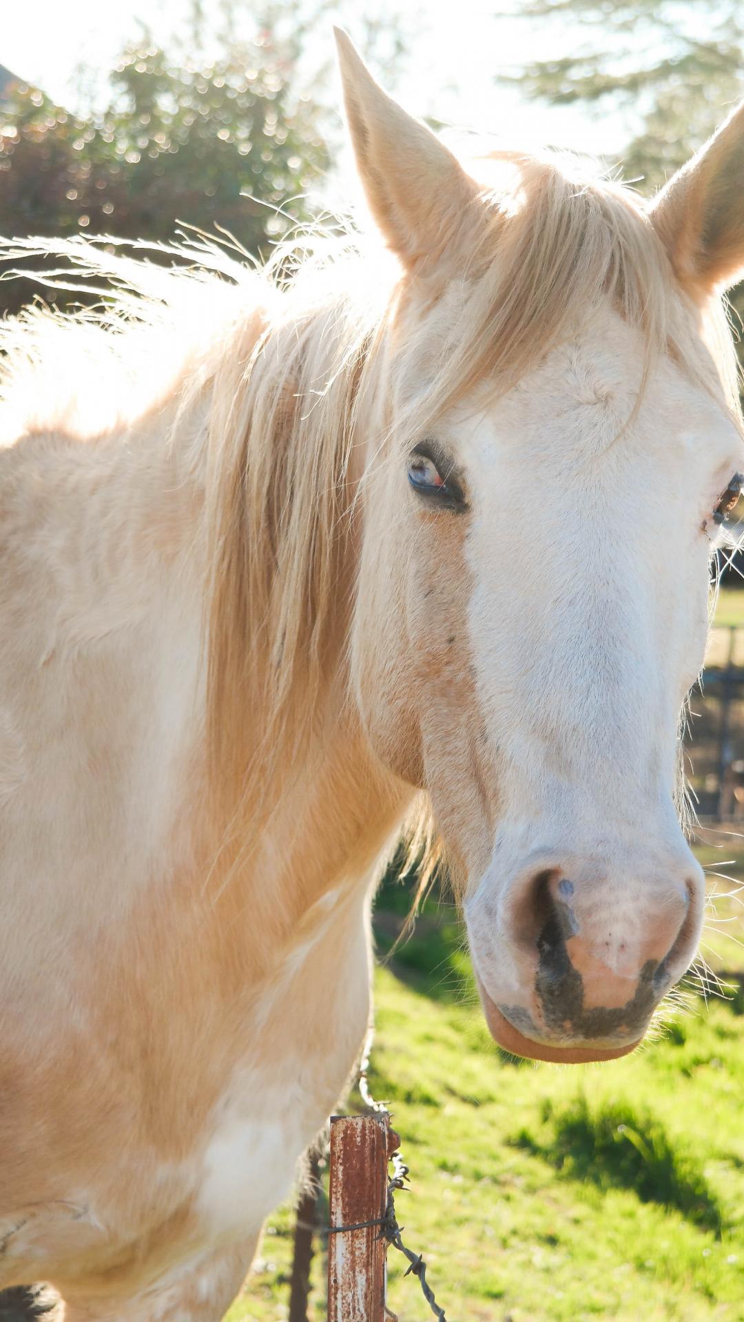 Palomino Horse In Sunlight IPhone Wallpaper