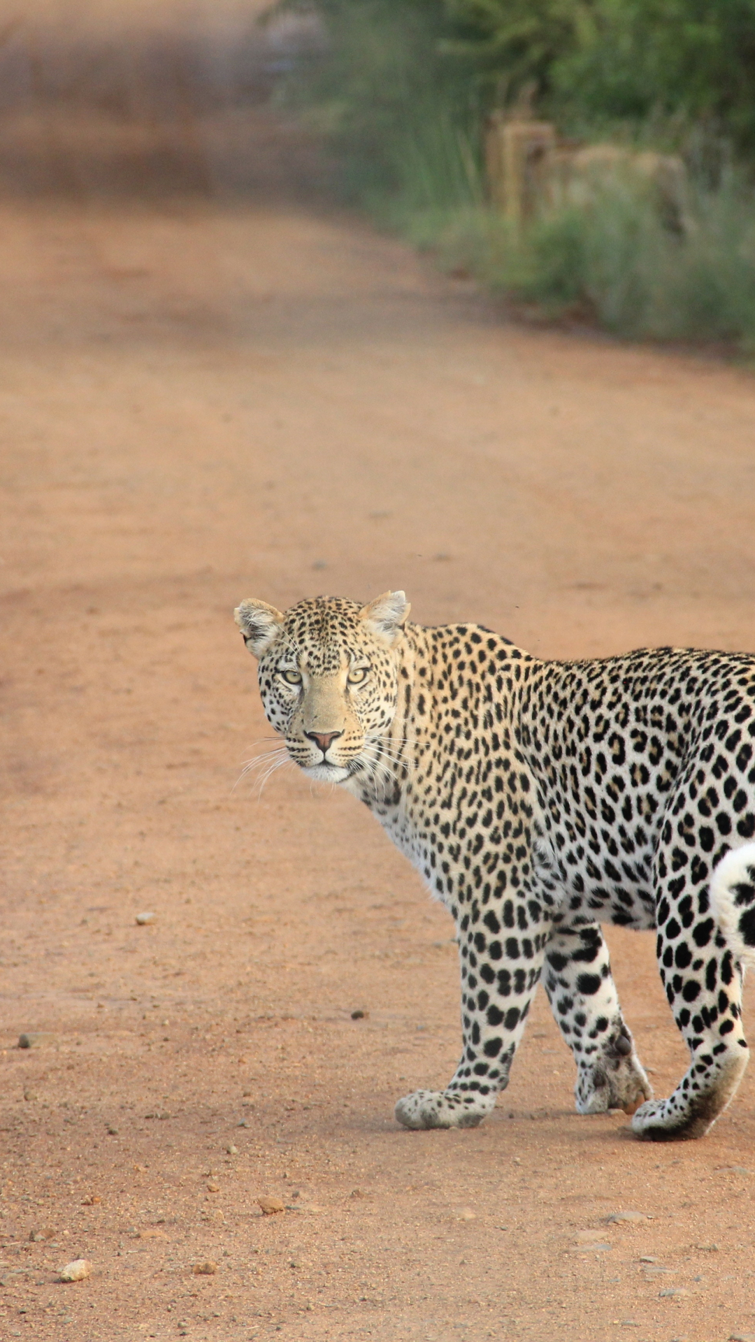 Encounter With A Leopard iPhone Wallpaper