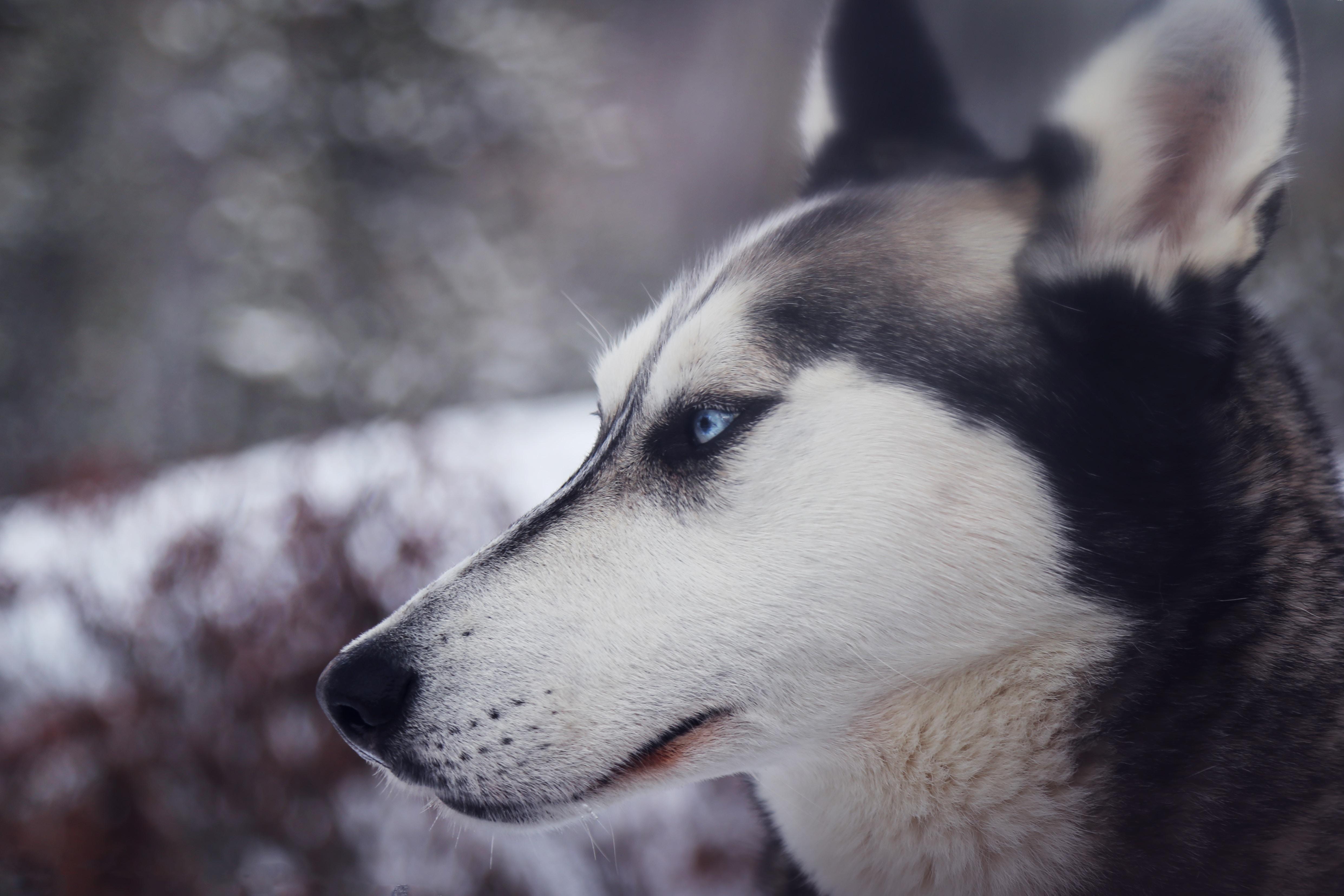 Dog Animal Canine Husky Iphone Wallpaper Idrop News