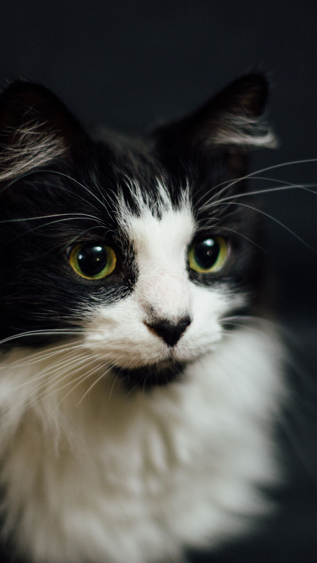 White And Black Cat Iphone Wallpaper Idrop News