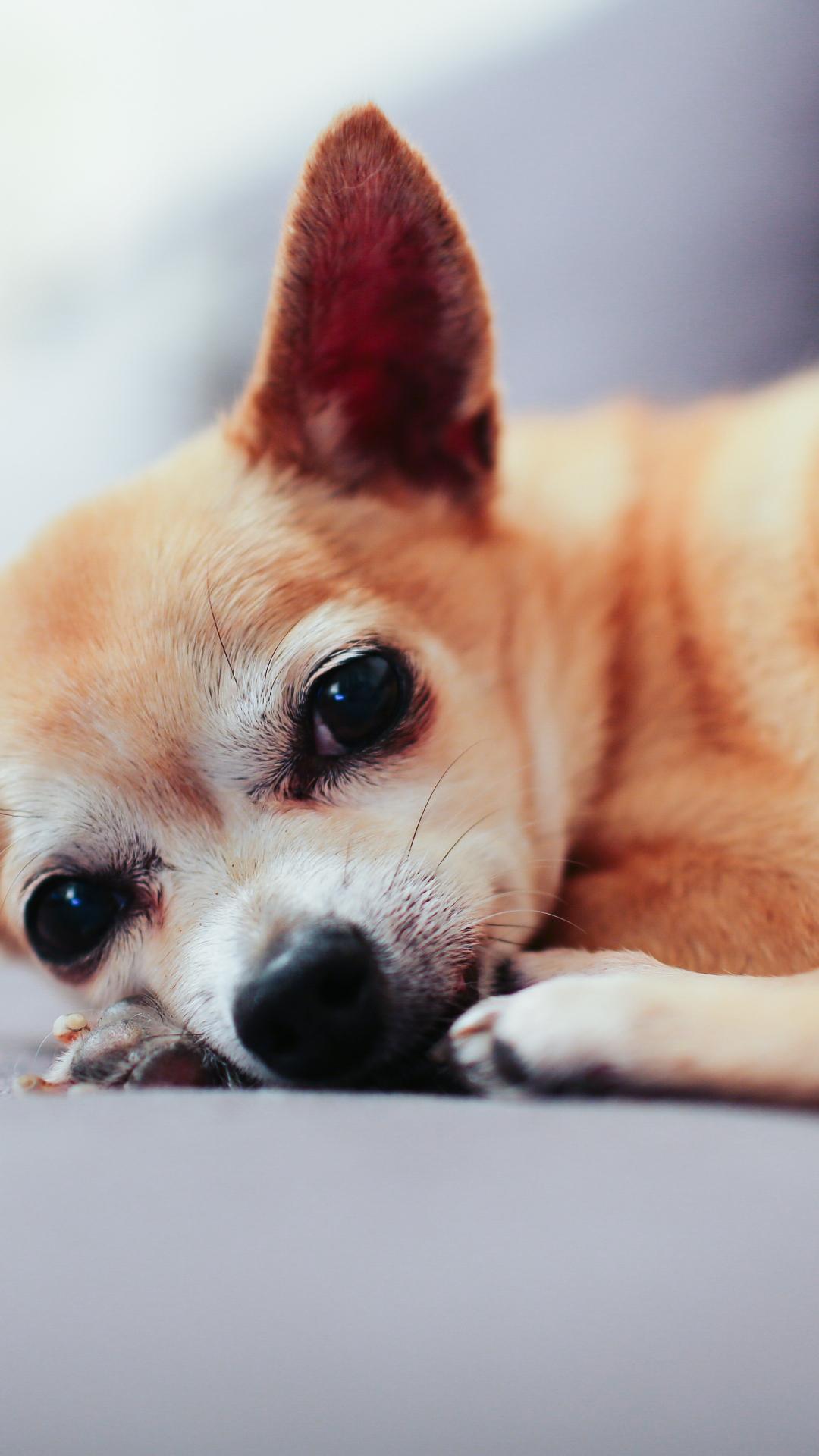 animal dog chihuahua puppy iphone wallpaper idrop news