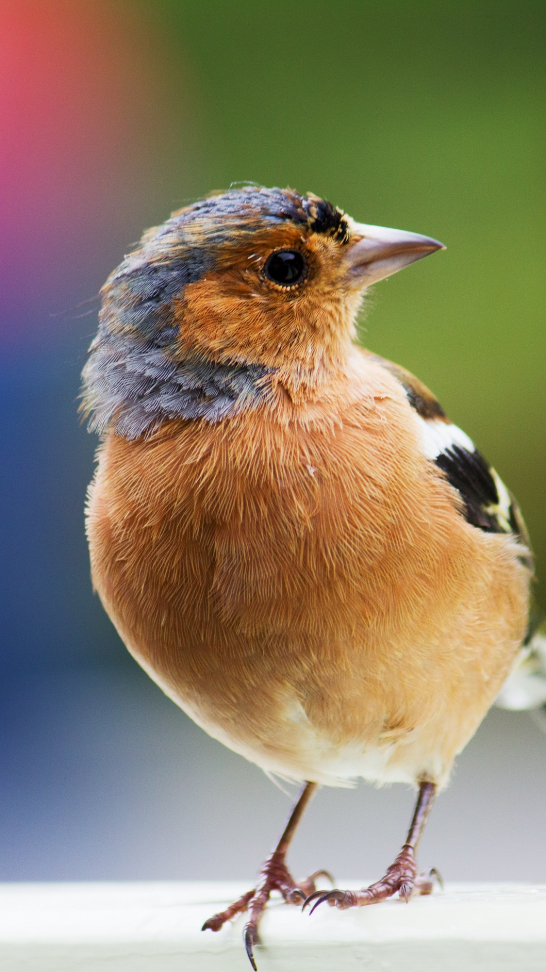 Curious Chaffinch iPhone Wallpaper