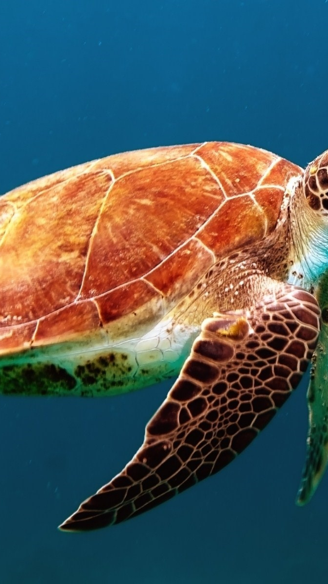 Turtle Iphone Wallpaper Idrop News