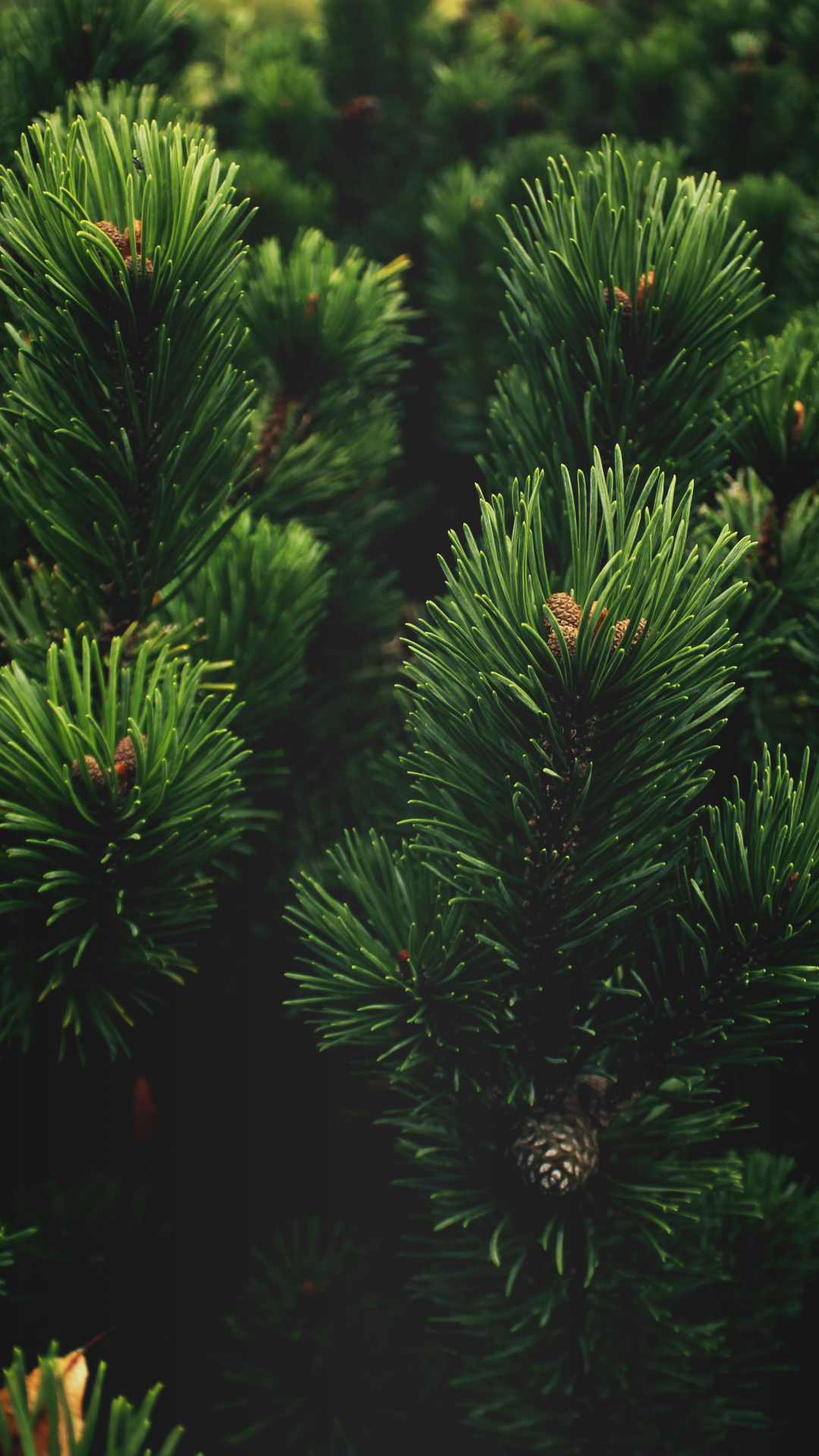Tree, Pine, Green iPhone Wallpaper