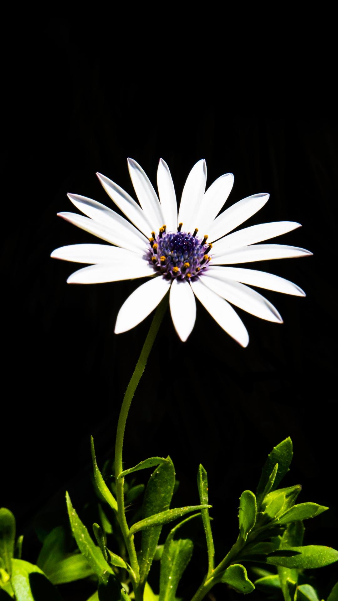 Flower, White, Plant iPhone Wallpaper