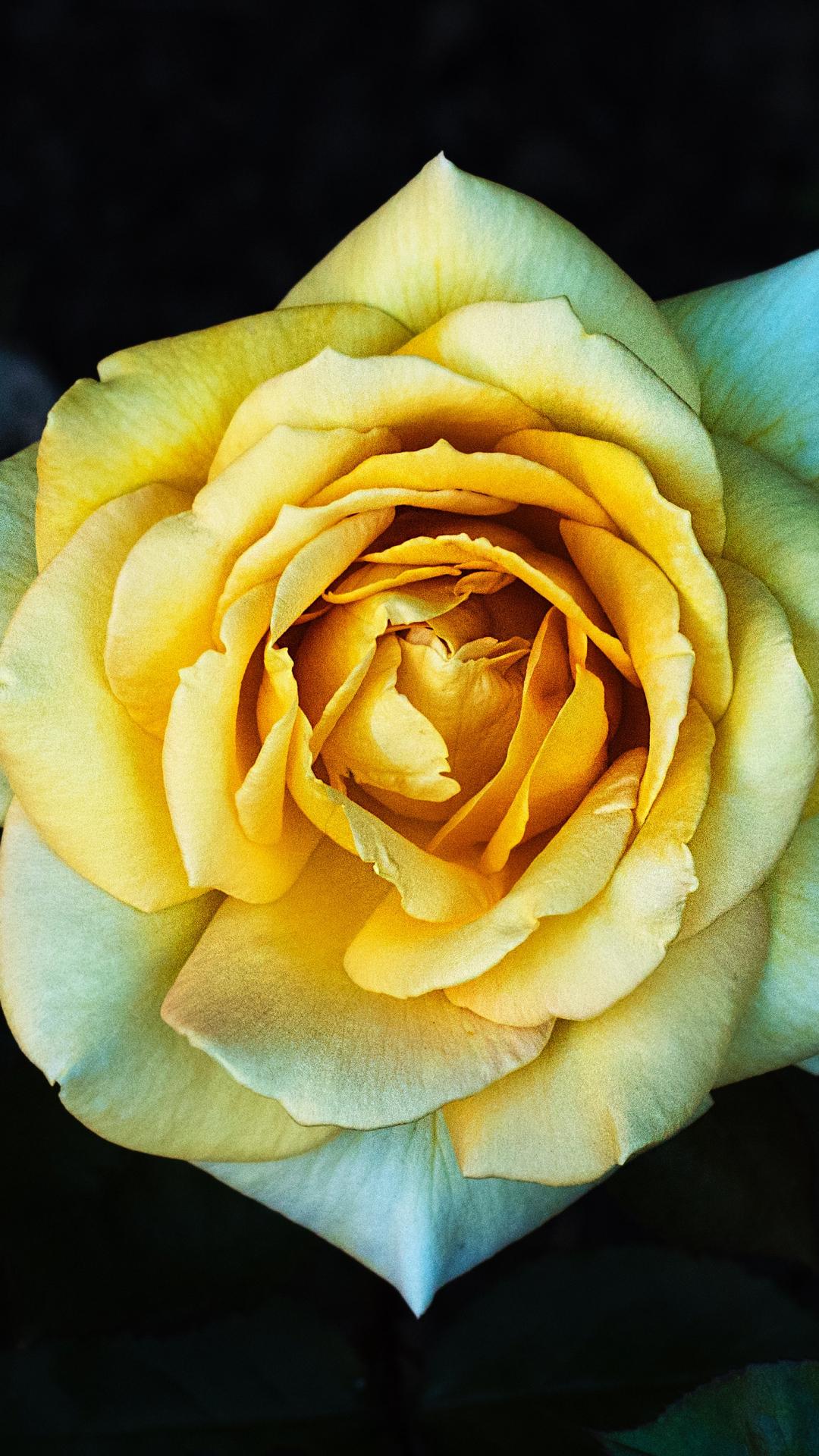 Flower, Rose iPhone Wallpaper