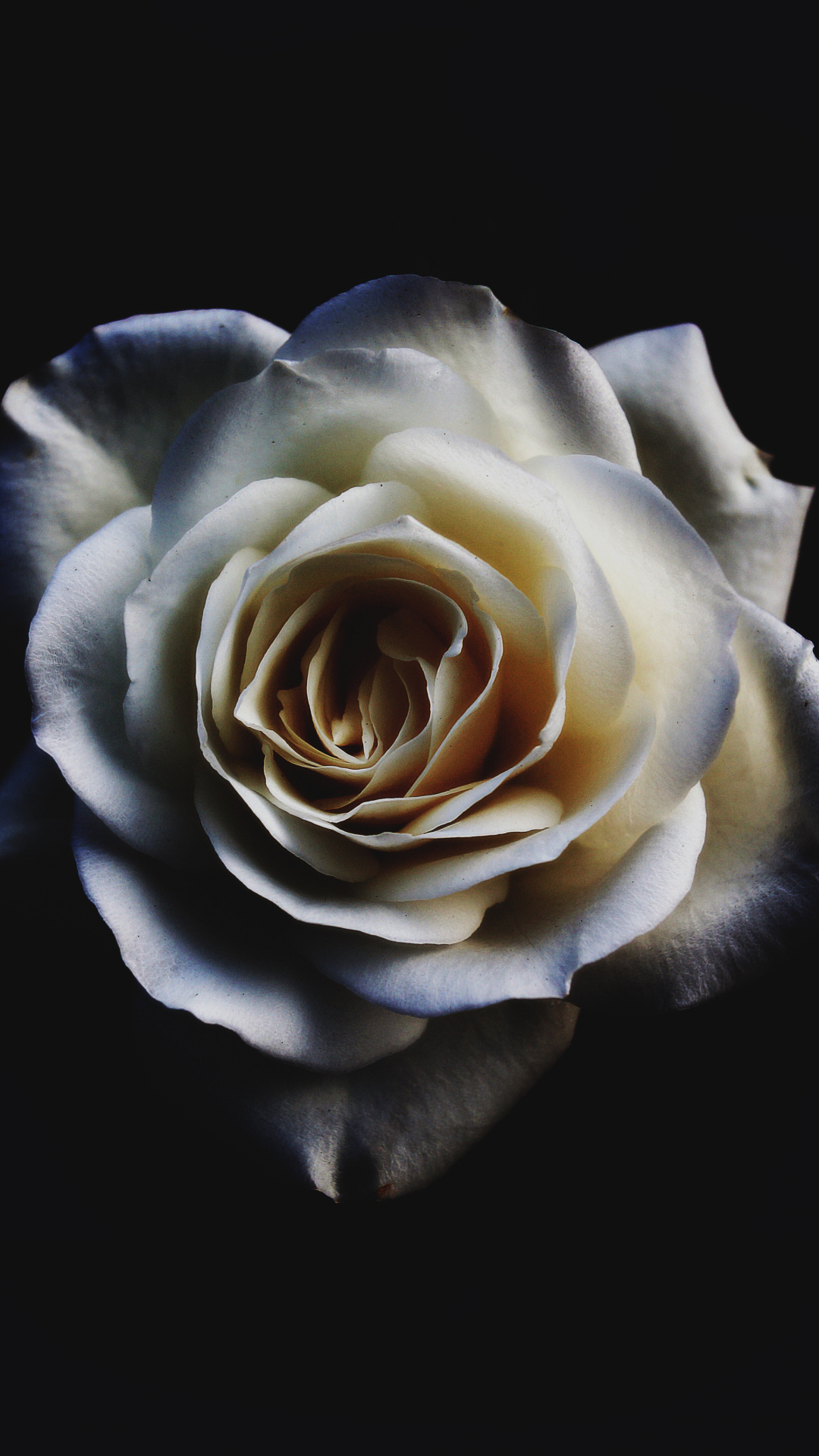 Flower, Rose, White iPhone Wallpaper