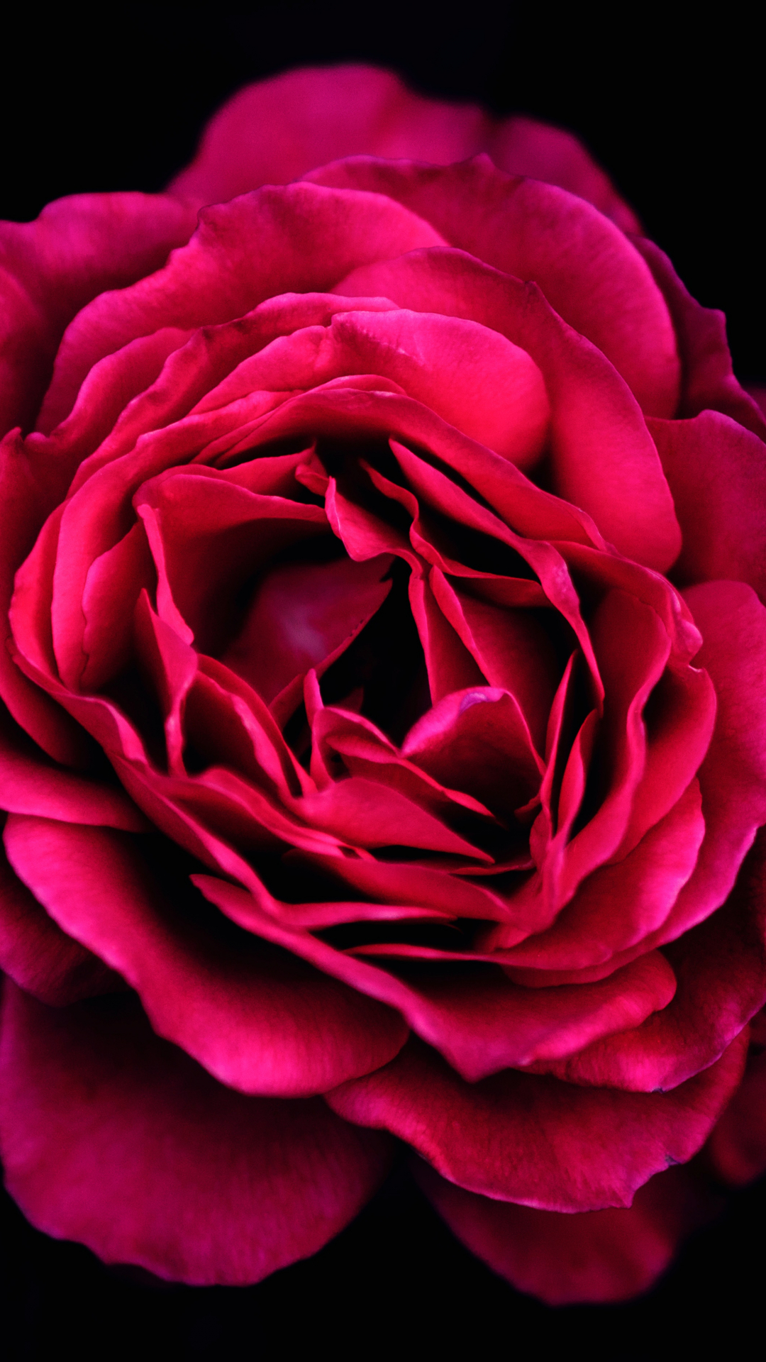 Luxurious Red Rose iPhone Wallpaper