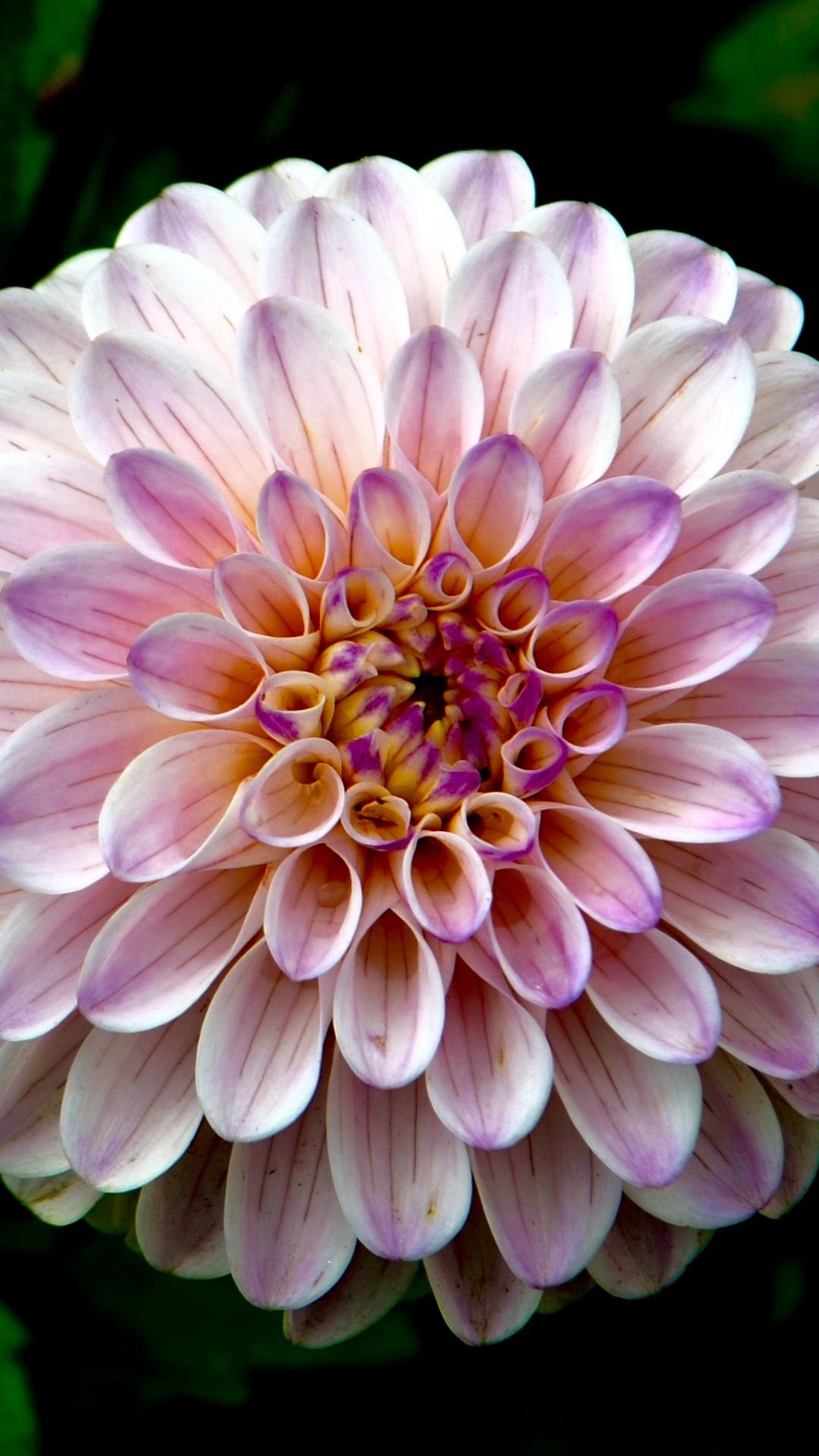A Pink Flower iPhone Wallpaper
