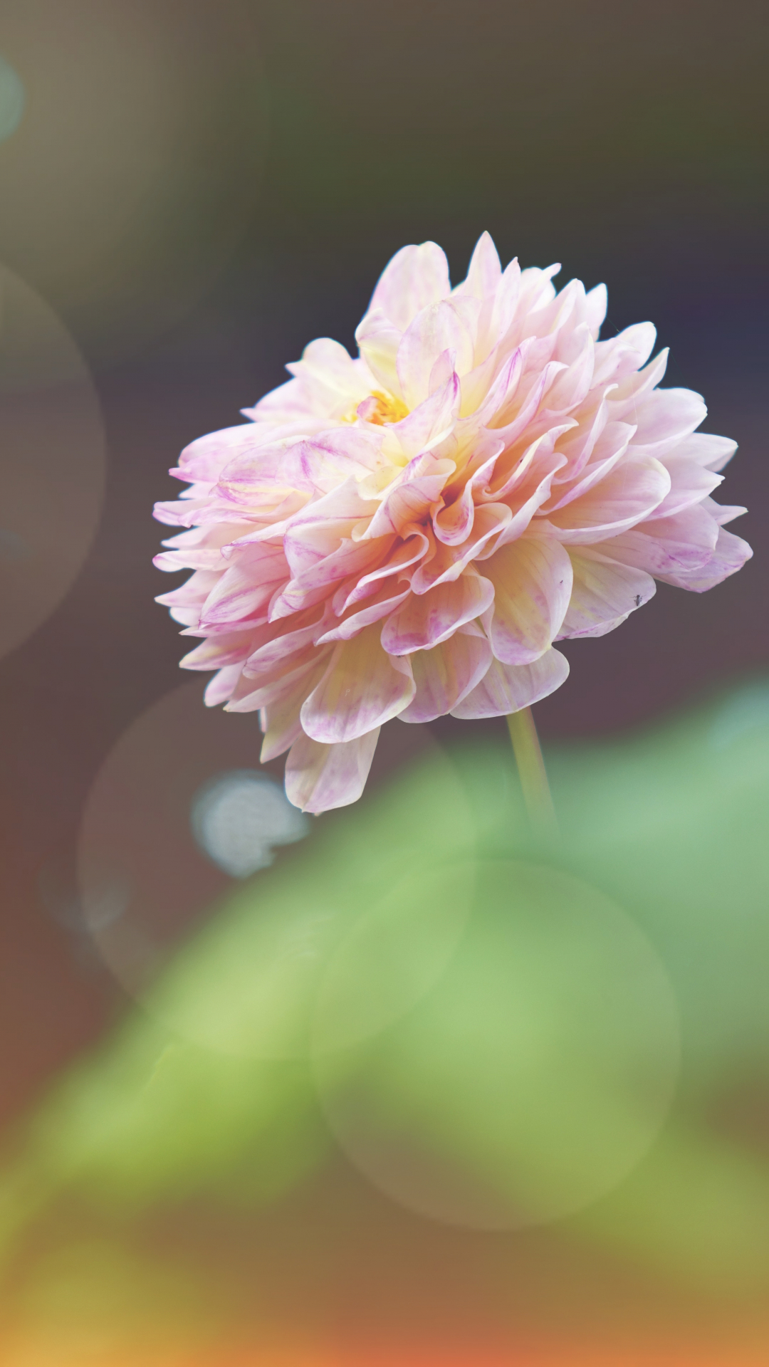 Sunlit Pink Flower iPhone Wallpaper