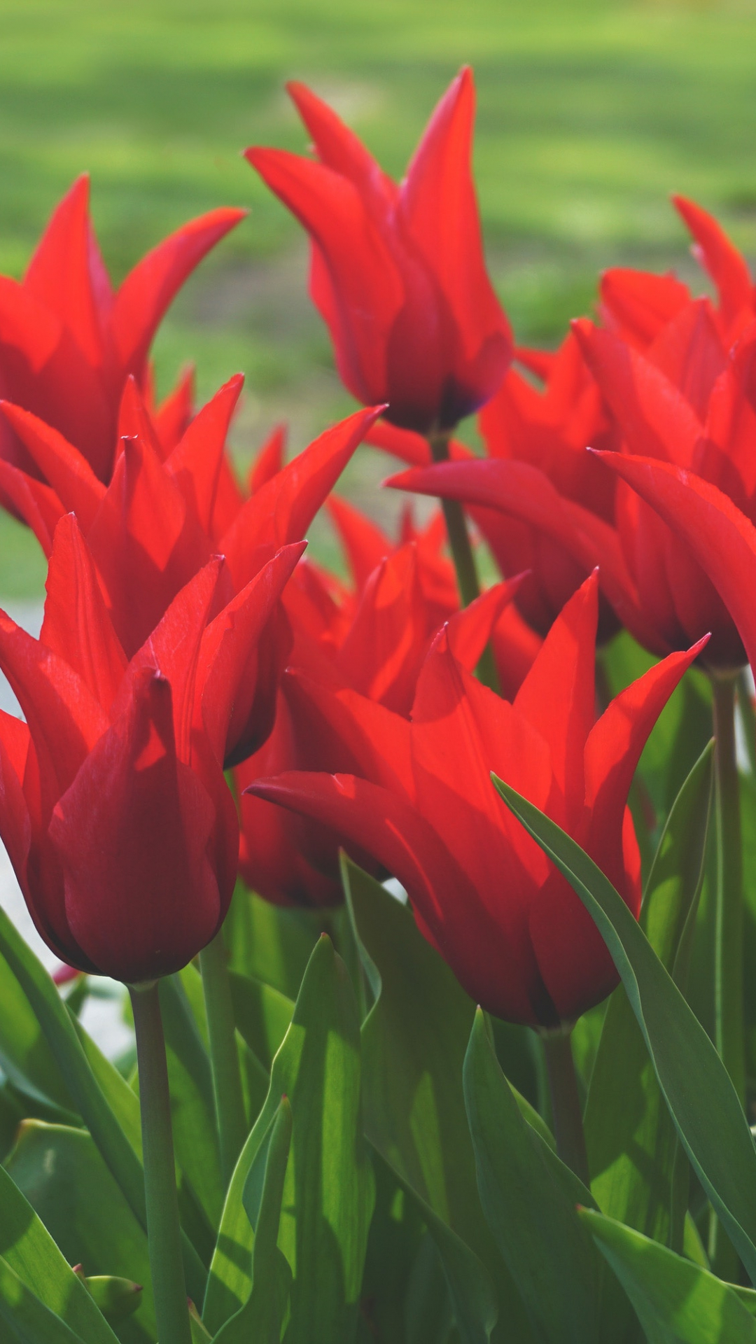 Tulips In Bloom iPhone Wallpaper