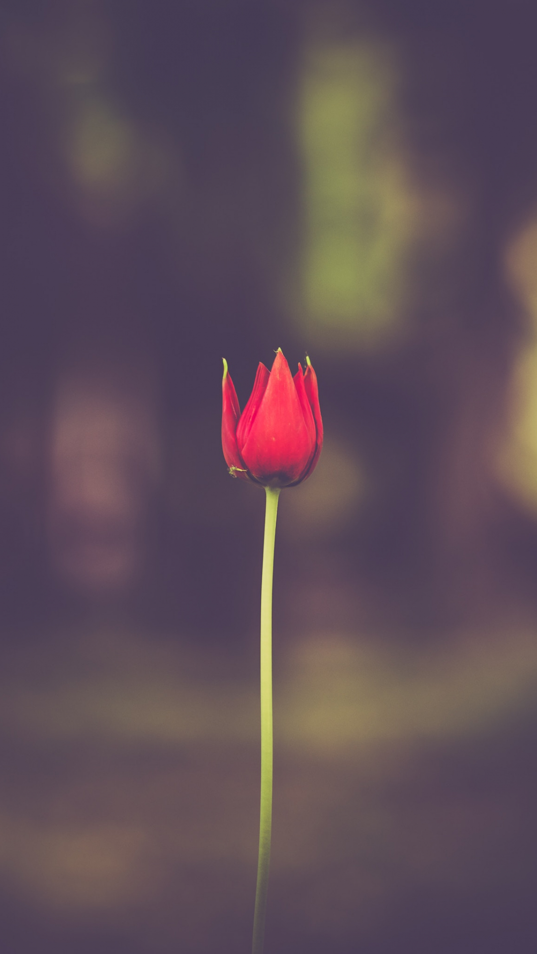 Red Flower Tulip iPhone Wallpaper