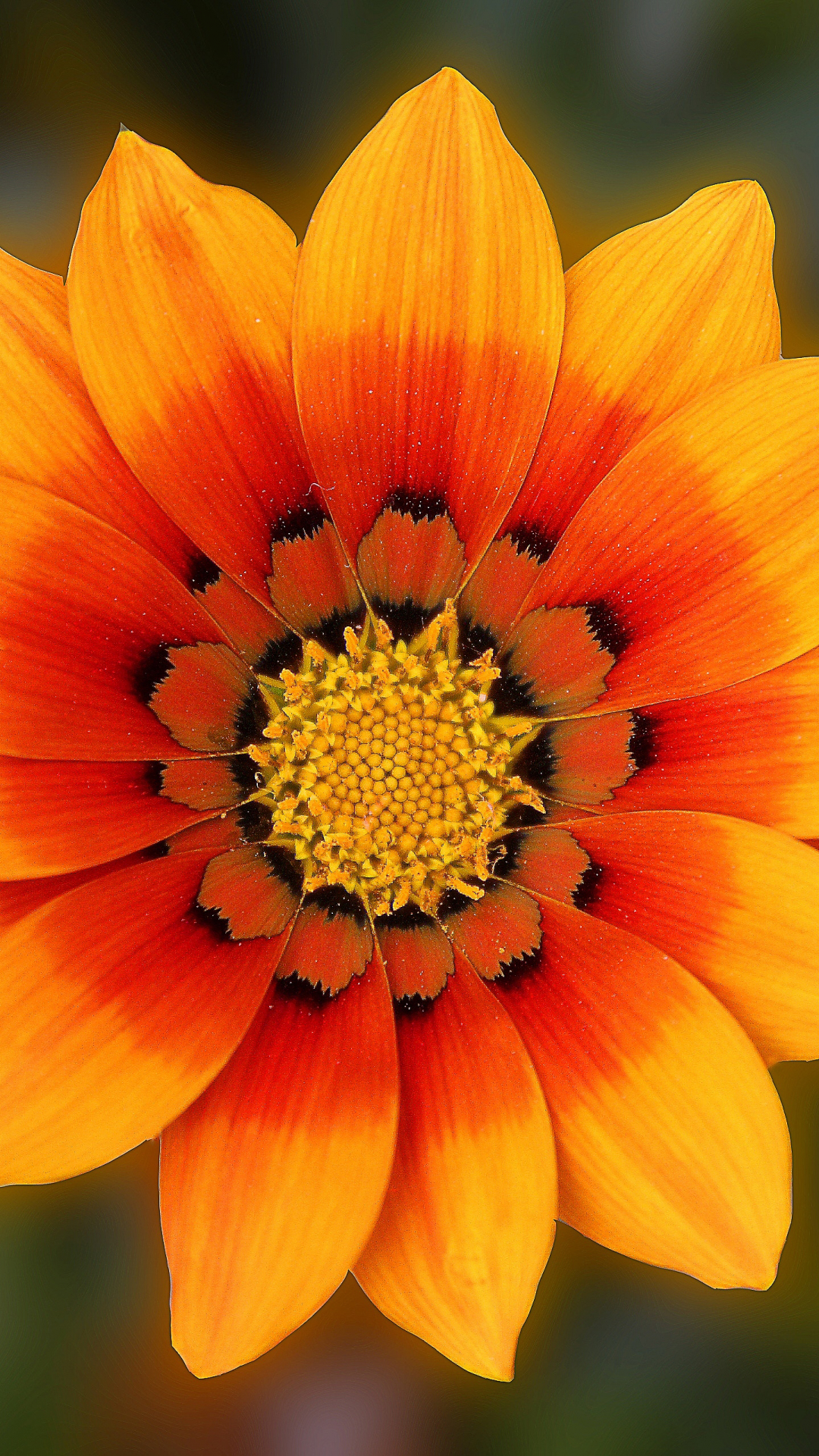 Gazania iPhone Wallpaper
