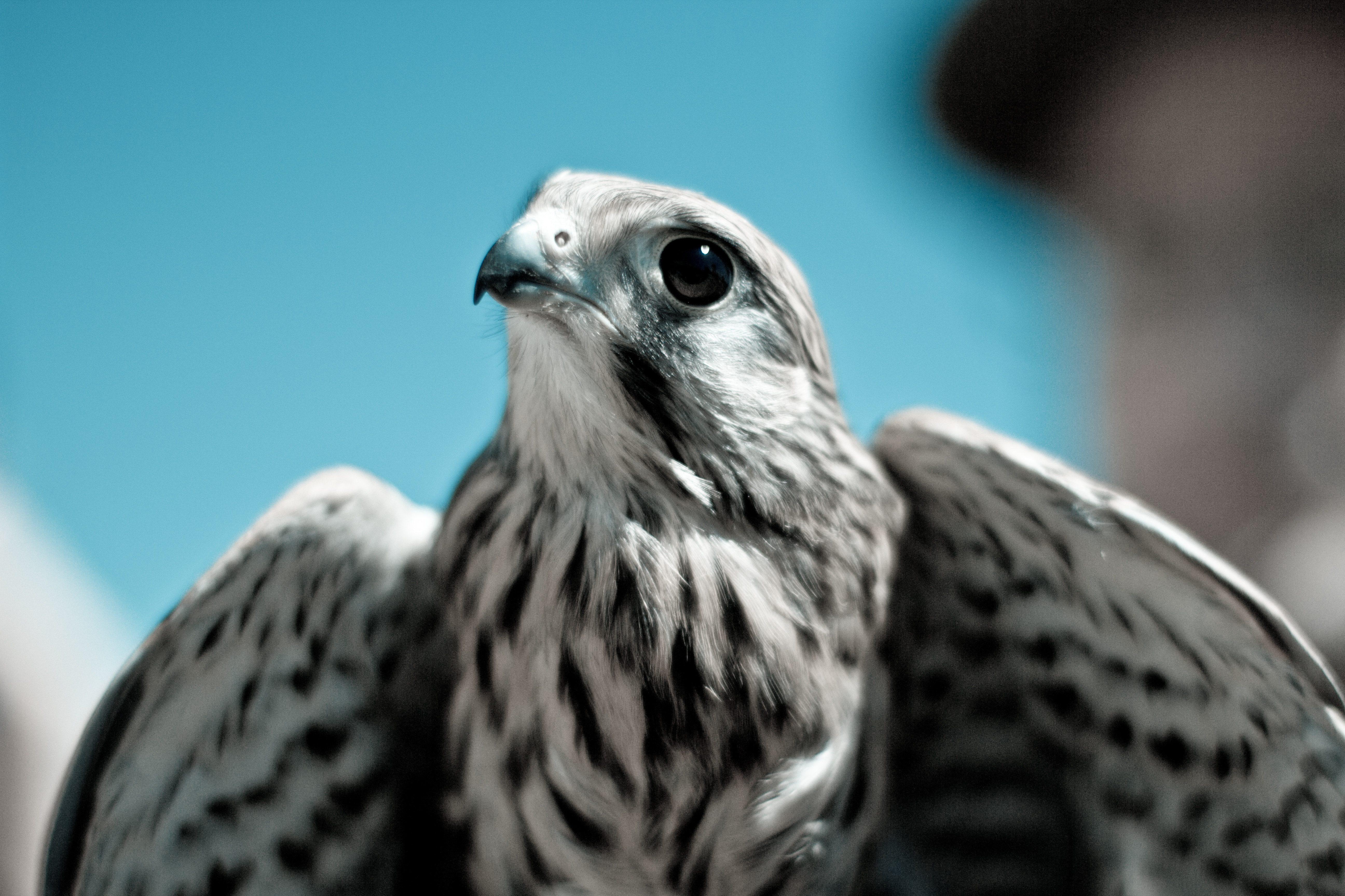 Falco Naumanni IPhone Wallpaper