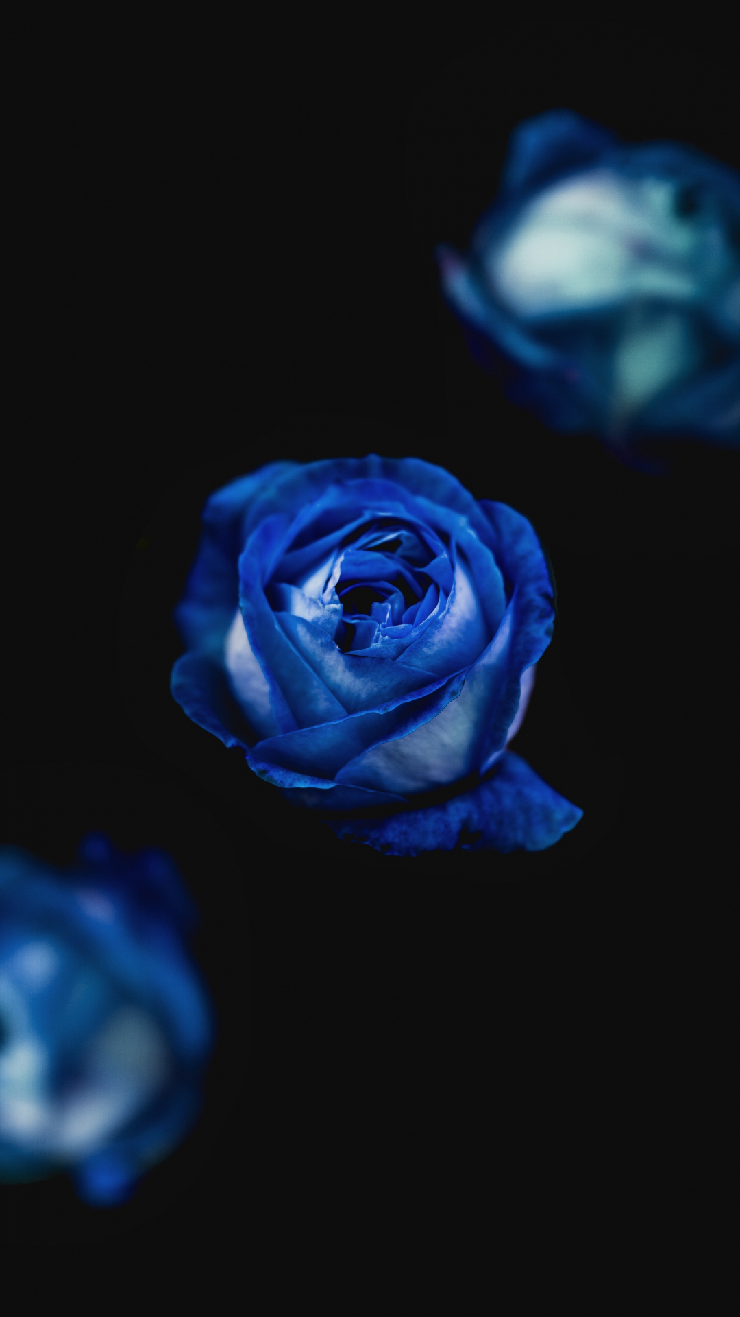 Blue Roses iPhone Wallpaper