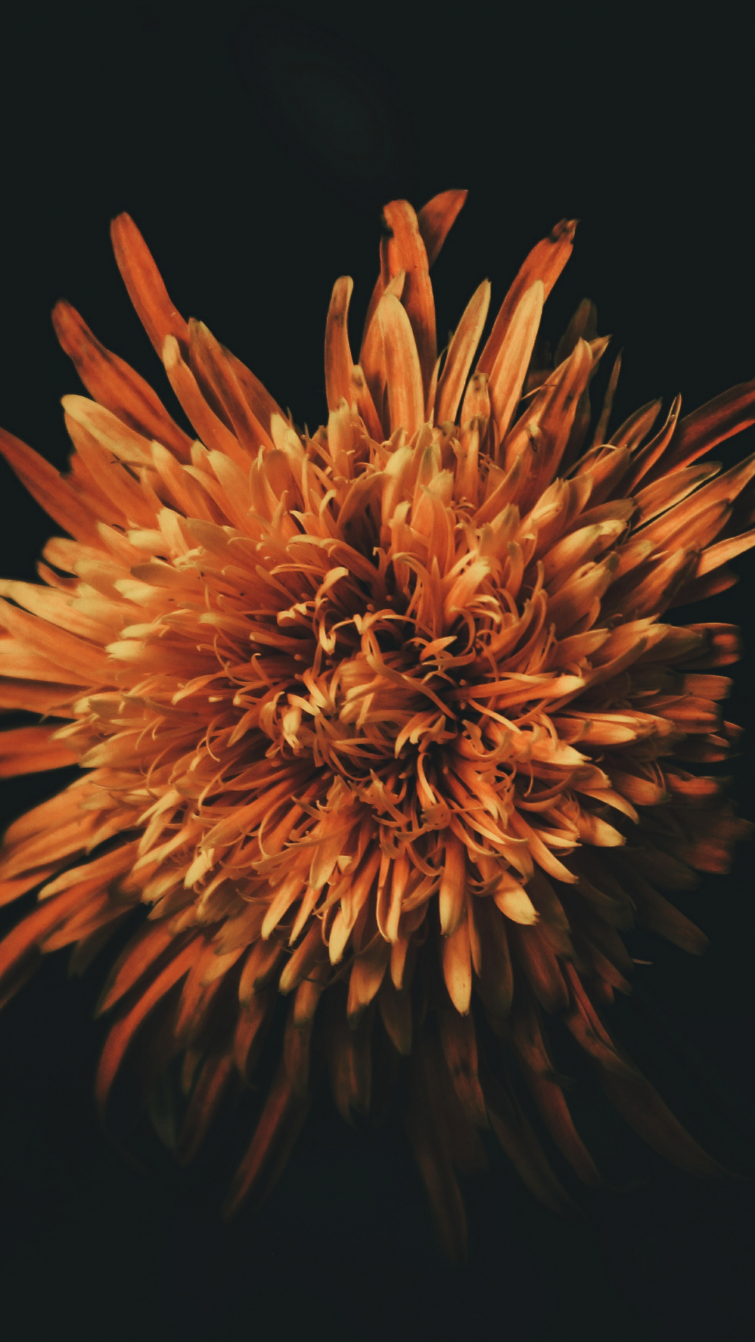 Orange Flower iPhone Wallpaper