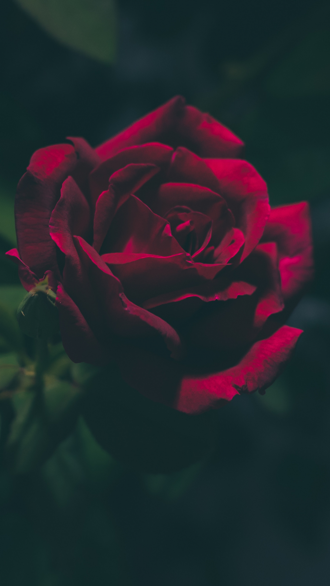 Blood-Red Rose iPhone Wallpaper