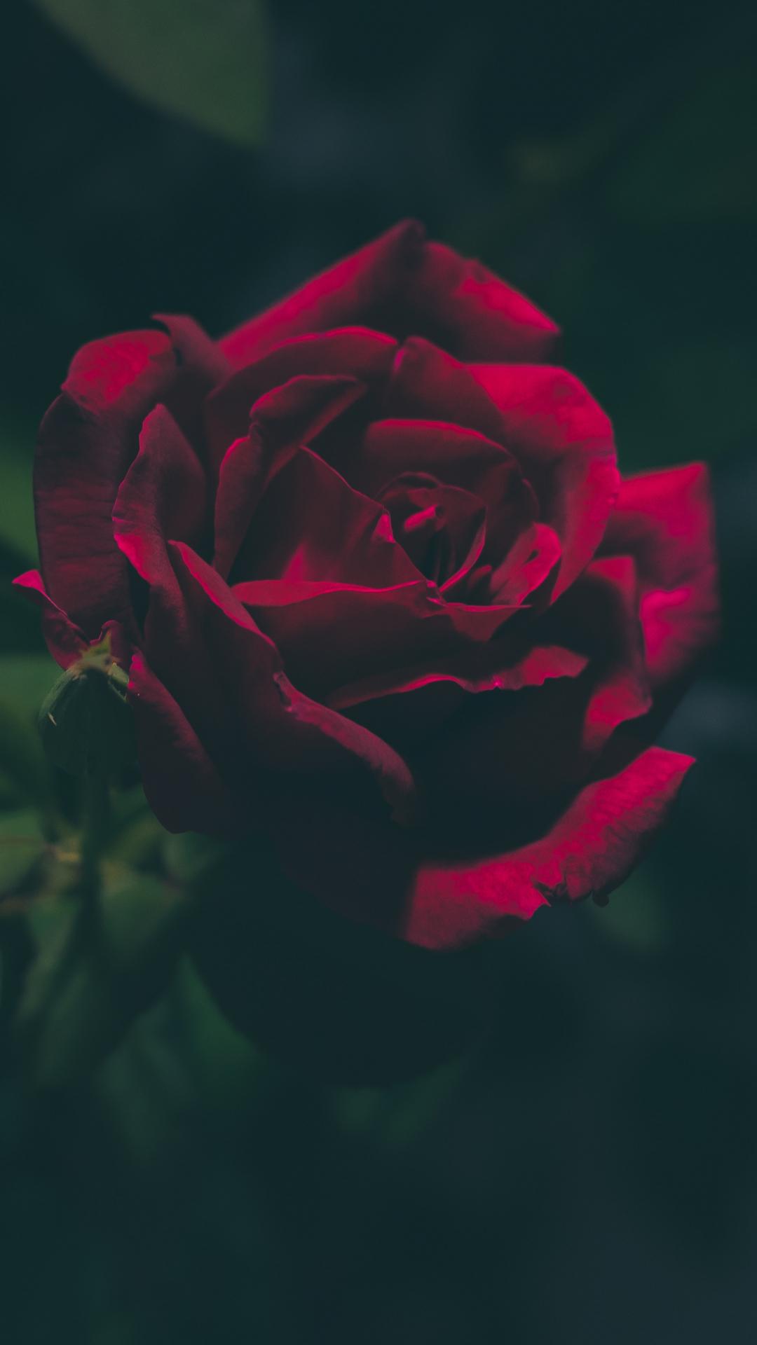 bloodred rose iphone wallpaper idrop news