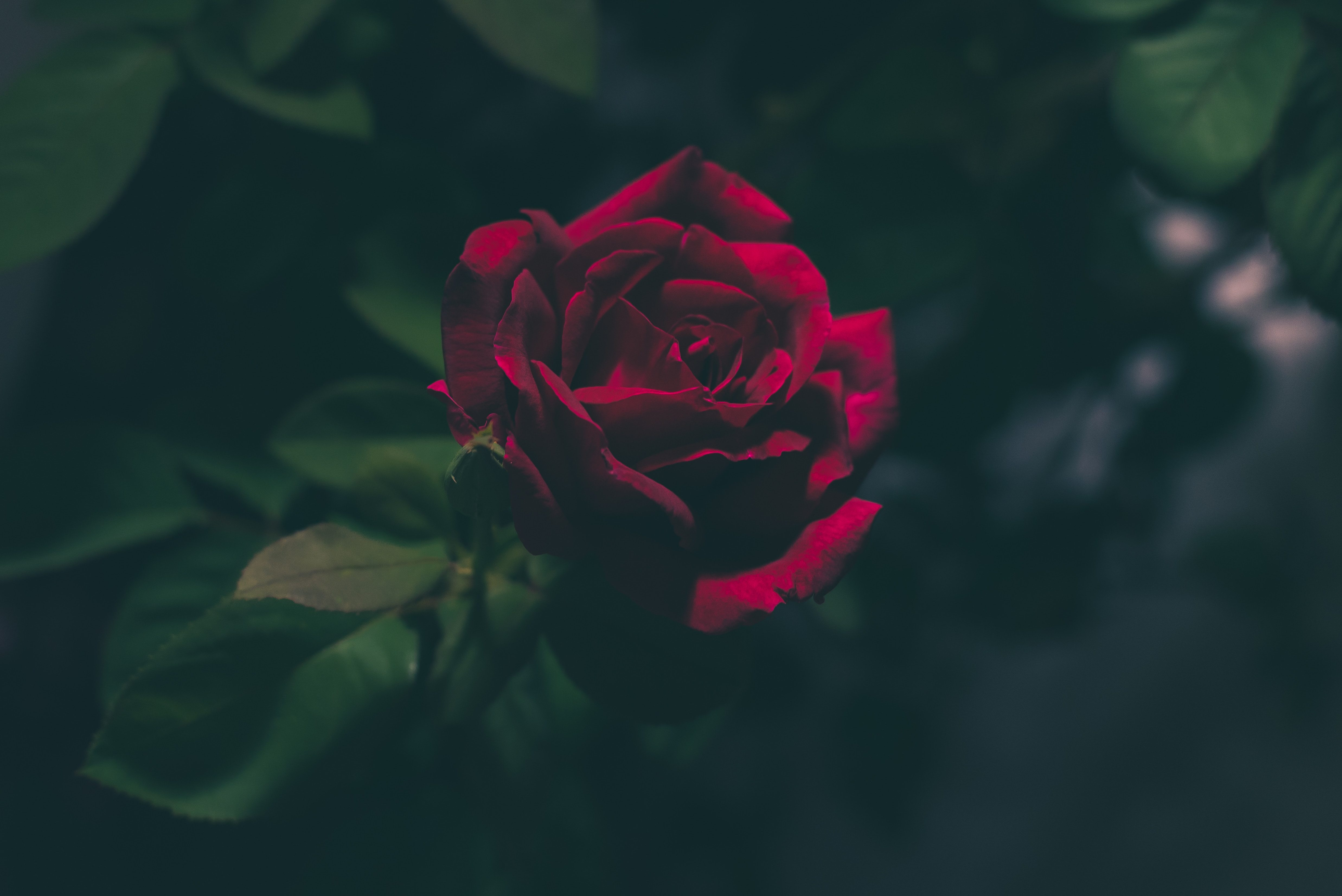 Blood red rose iphone wallpaper idrop news - Black and red rose wallpaper ...