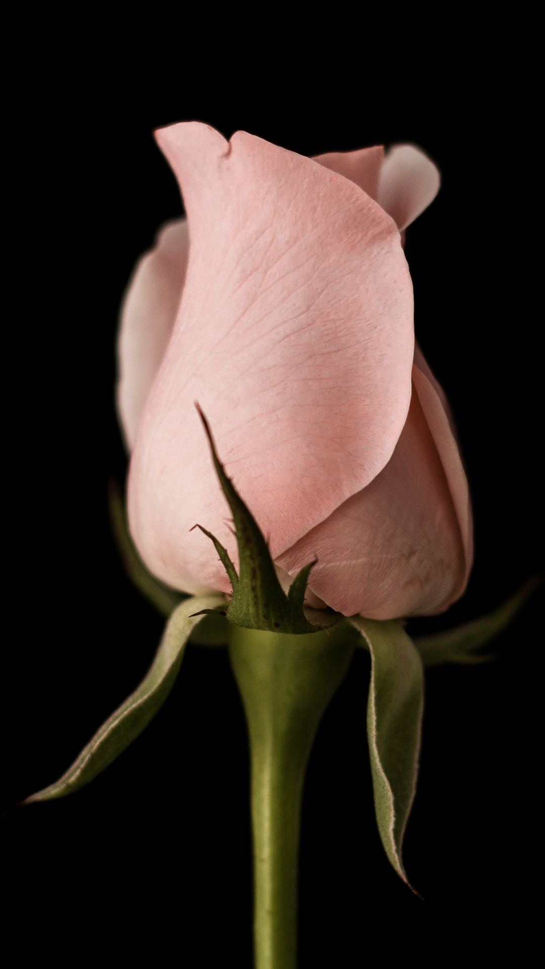 Pink American Rose iPhone Wallpaper