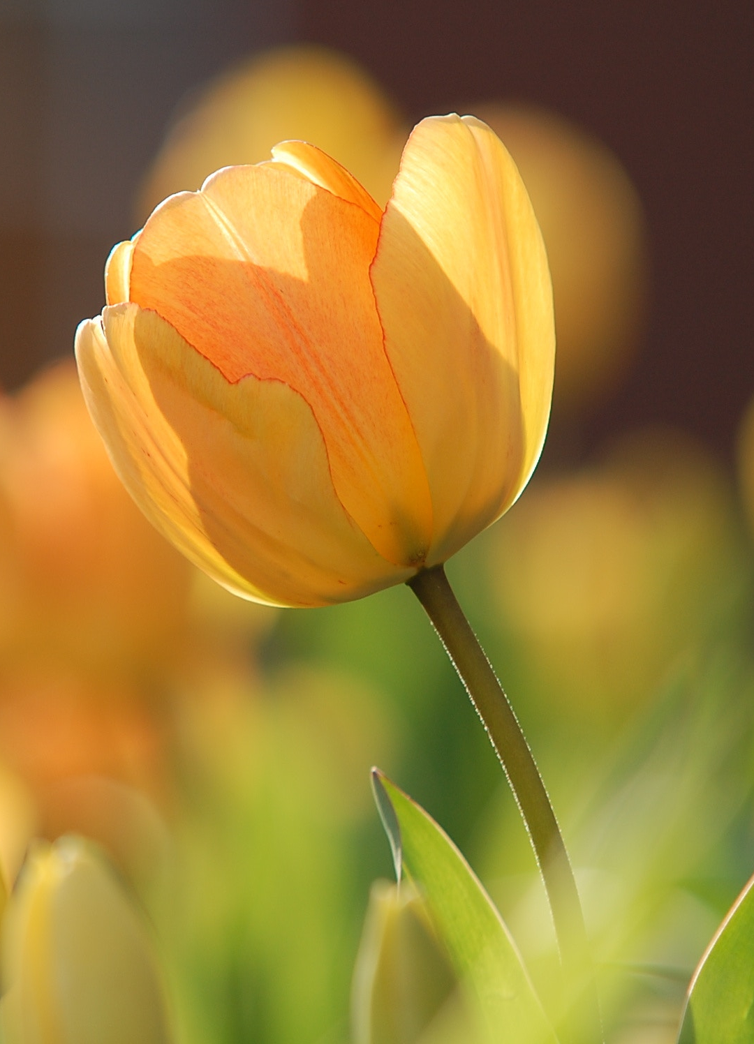 Tulips At Sunrise iPhone Wallpaper
