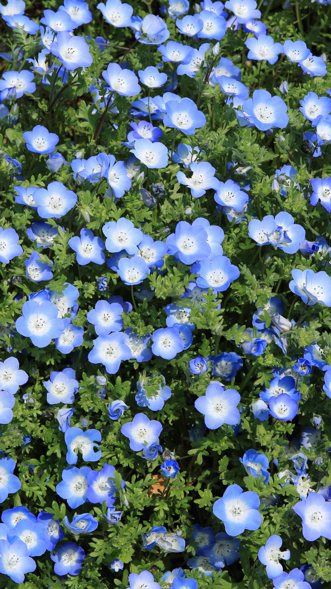 Blue Flax Bed iPhone Wallpaper