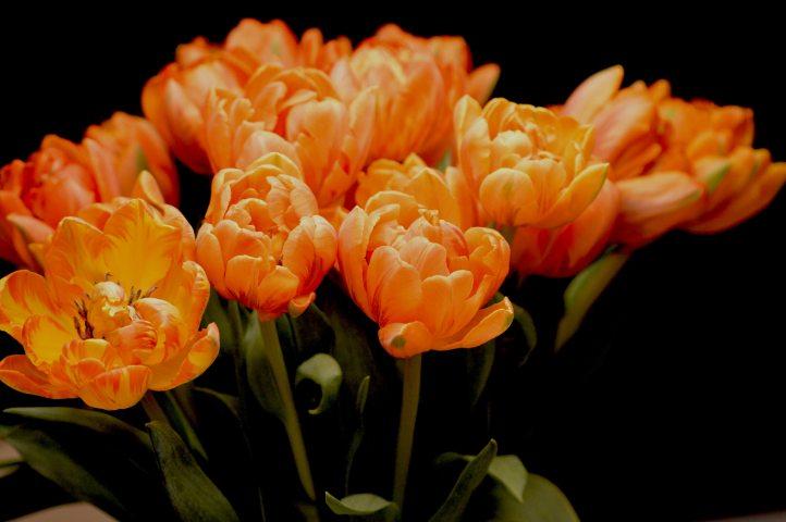 Tulips-iPhone-Wallpaper