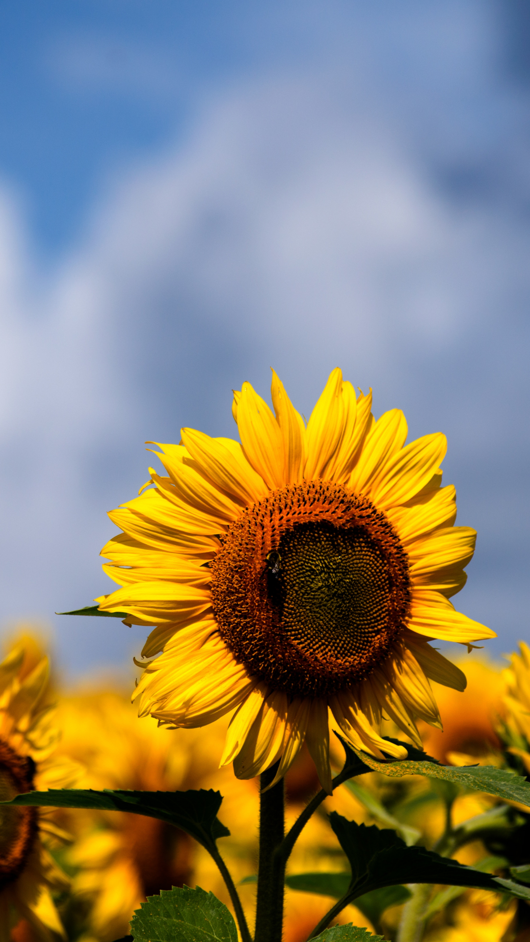Sunflowers iPhone Wallpaper