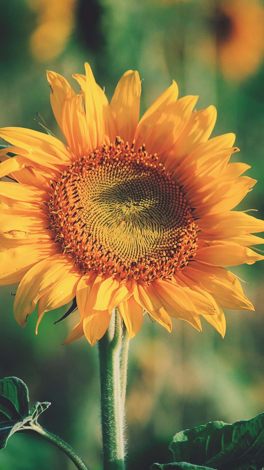 Robust Sunflower iPhone Wallpaper