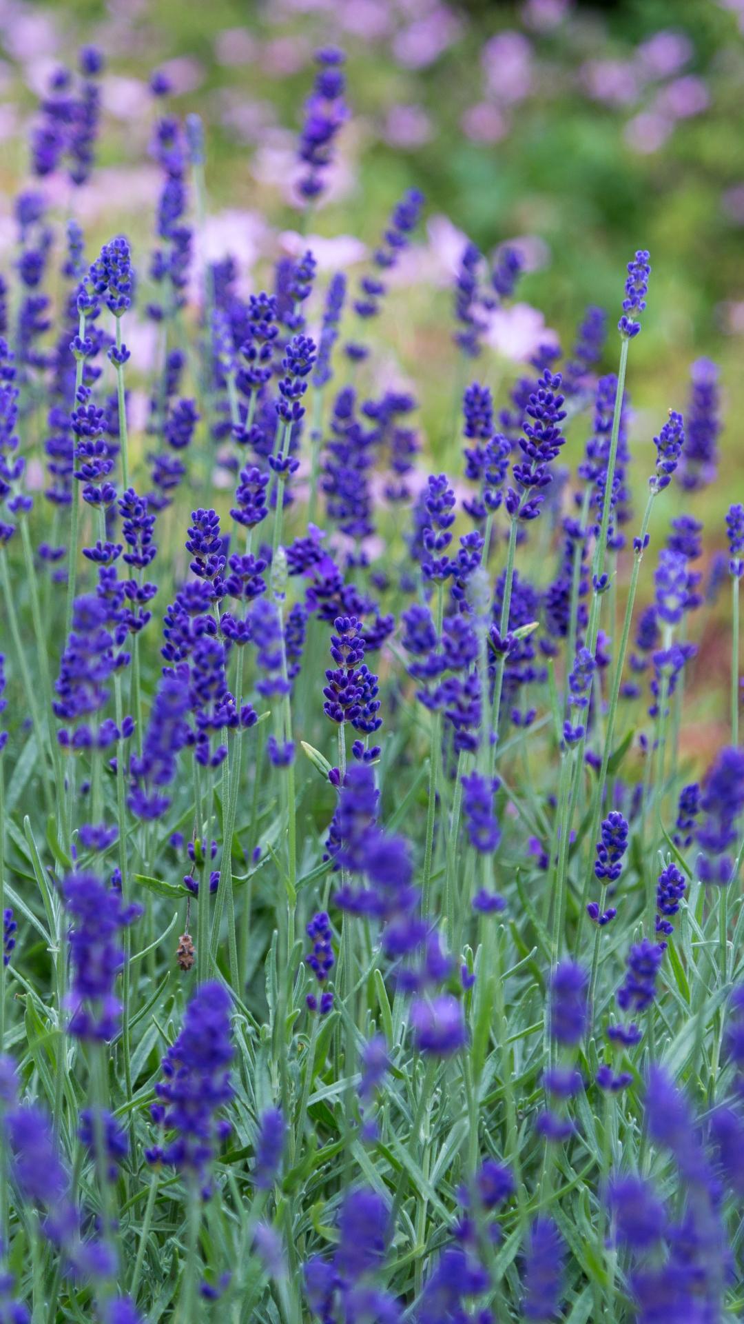 Lavender Meadow iPhone Wallpaper