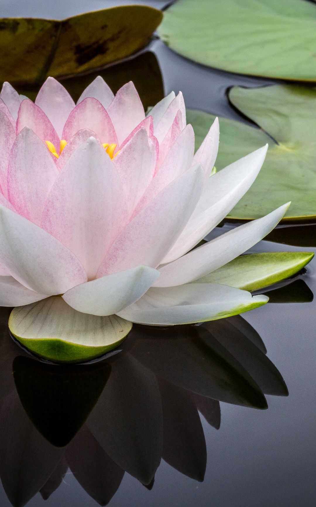 Water Lily iPhone Wallpaper - iDrop News