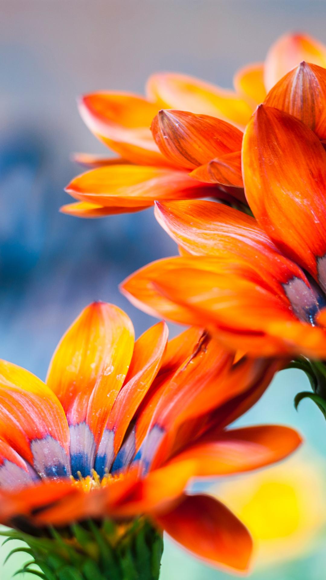 Petal And Orange iPhone Wallpaper