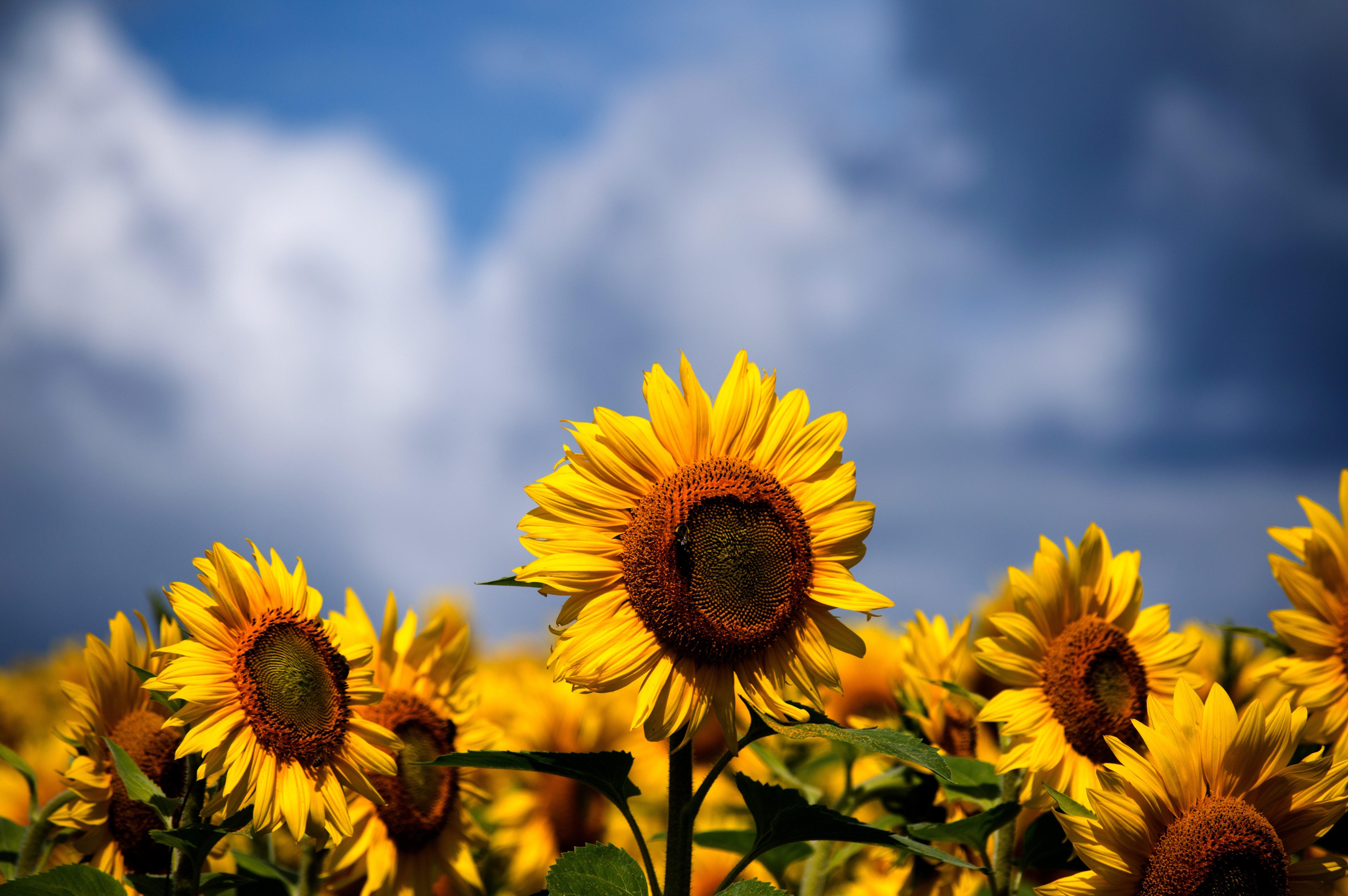 Sunflowers Iphone Wallpaper Idrop News