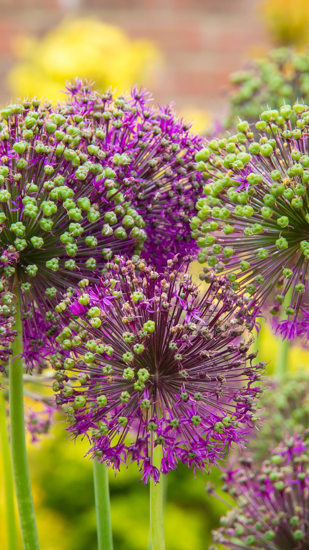 Purple Allium iPhone Wallpaper