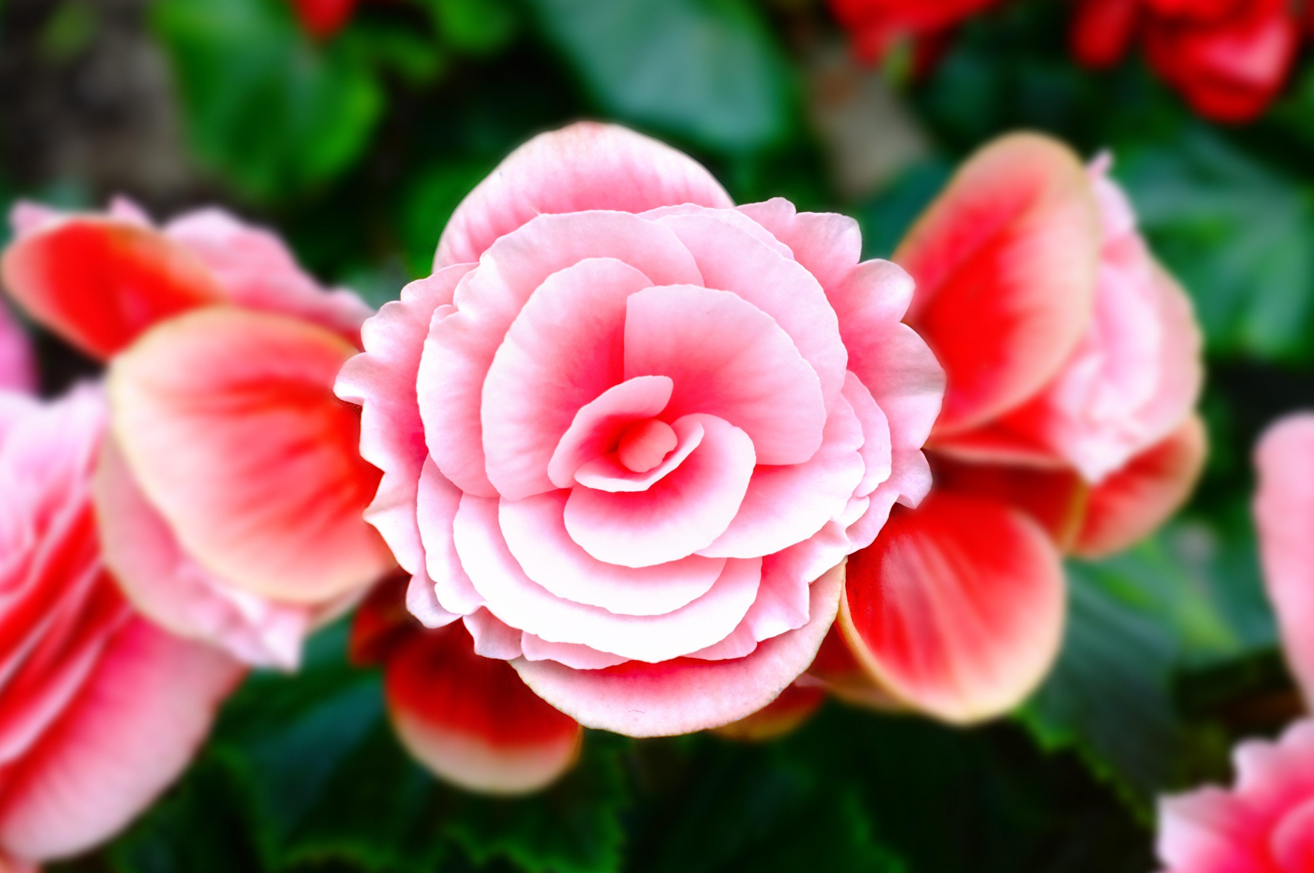 Delicate Pink Flowers Iphone Wallpaper Idrop News