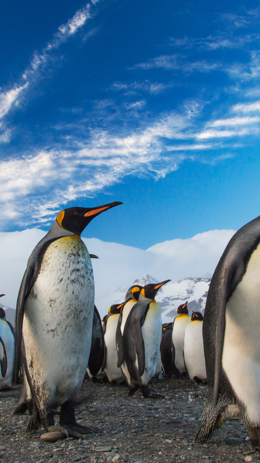 king penguin procession iphone wallpaper - idrop news