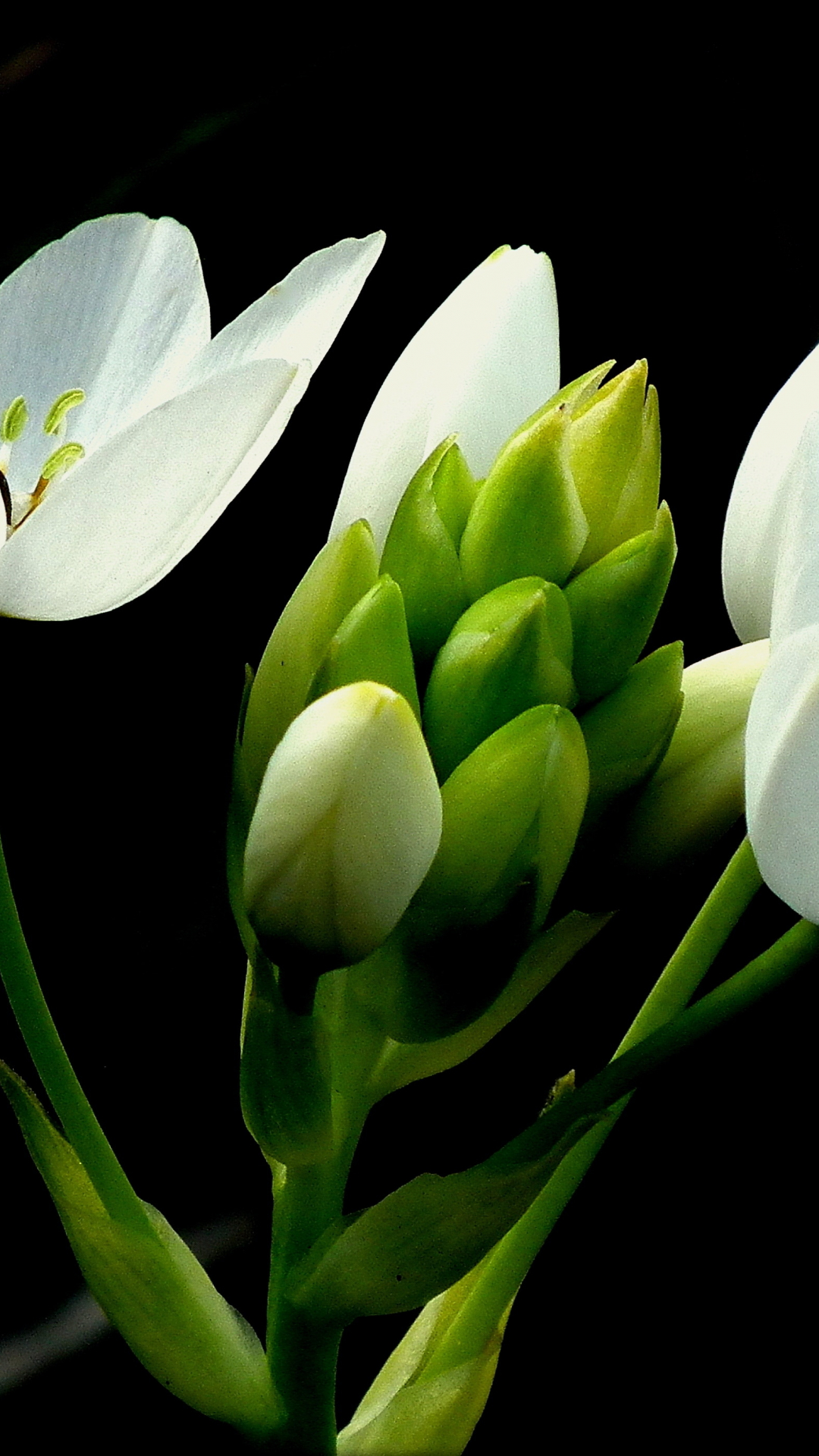 Ornithogalum iPhone Wallpaper