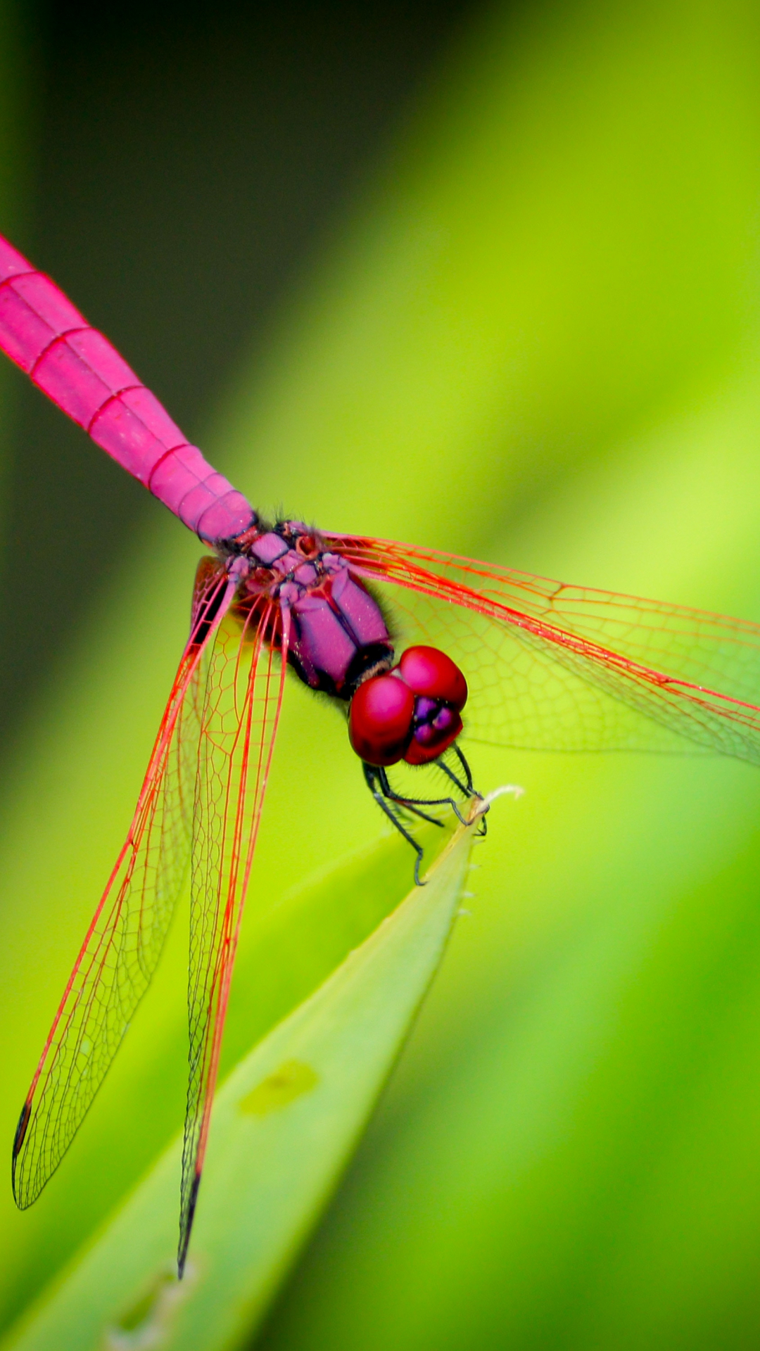 Dragonfly On Green iPhone Wallpaper