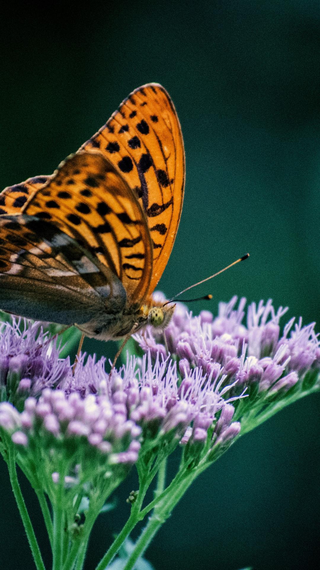 Orange Butterfly iPhone Wallpaper