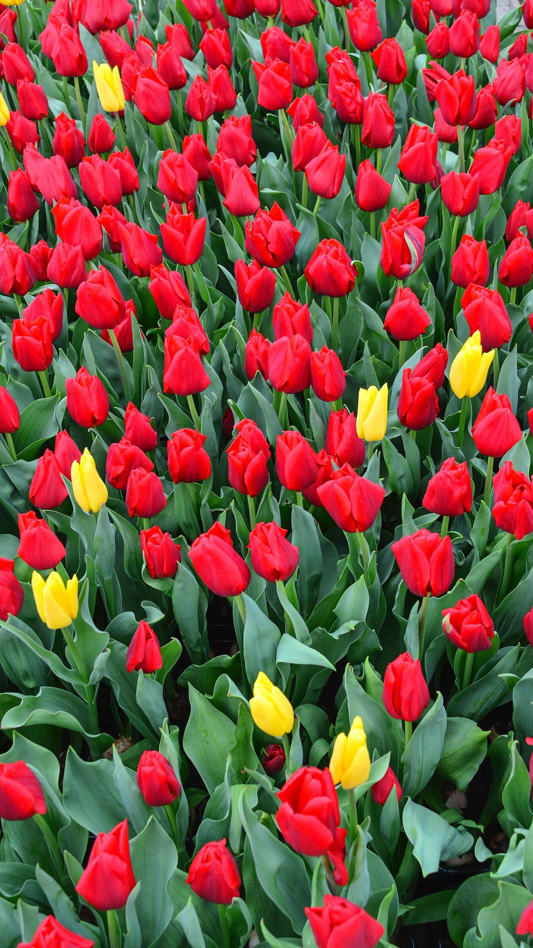 Tulips iPhone Wallpaper