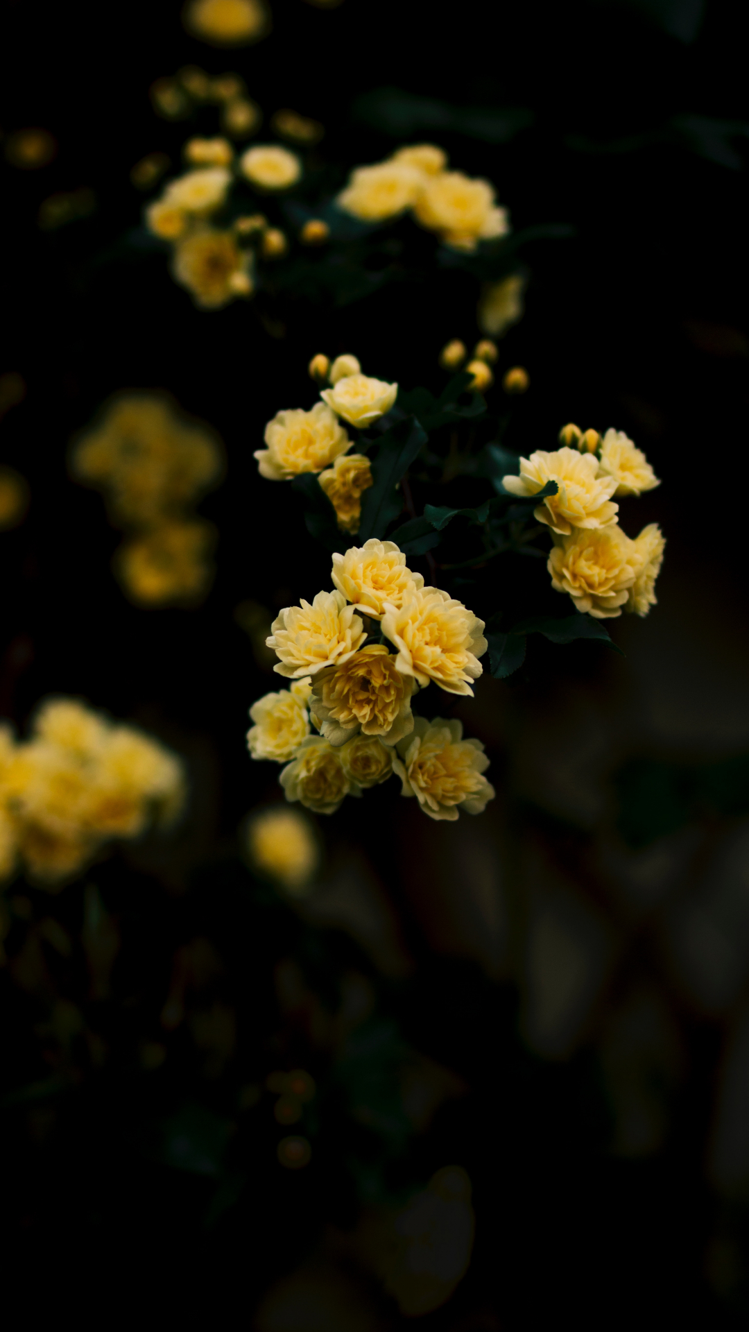 Yellow, Rose iPhone Wallpaper