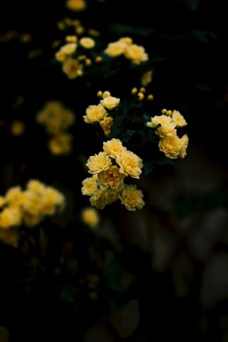Yellow Rose Iphone Wallpaper