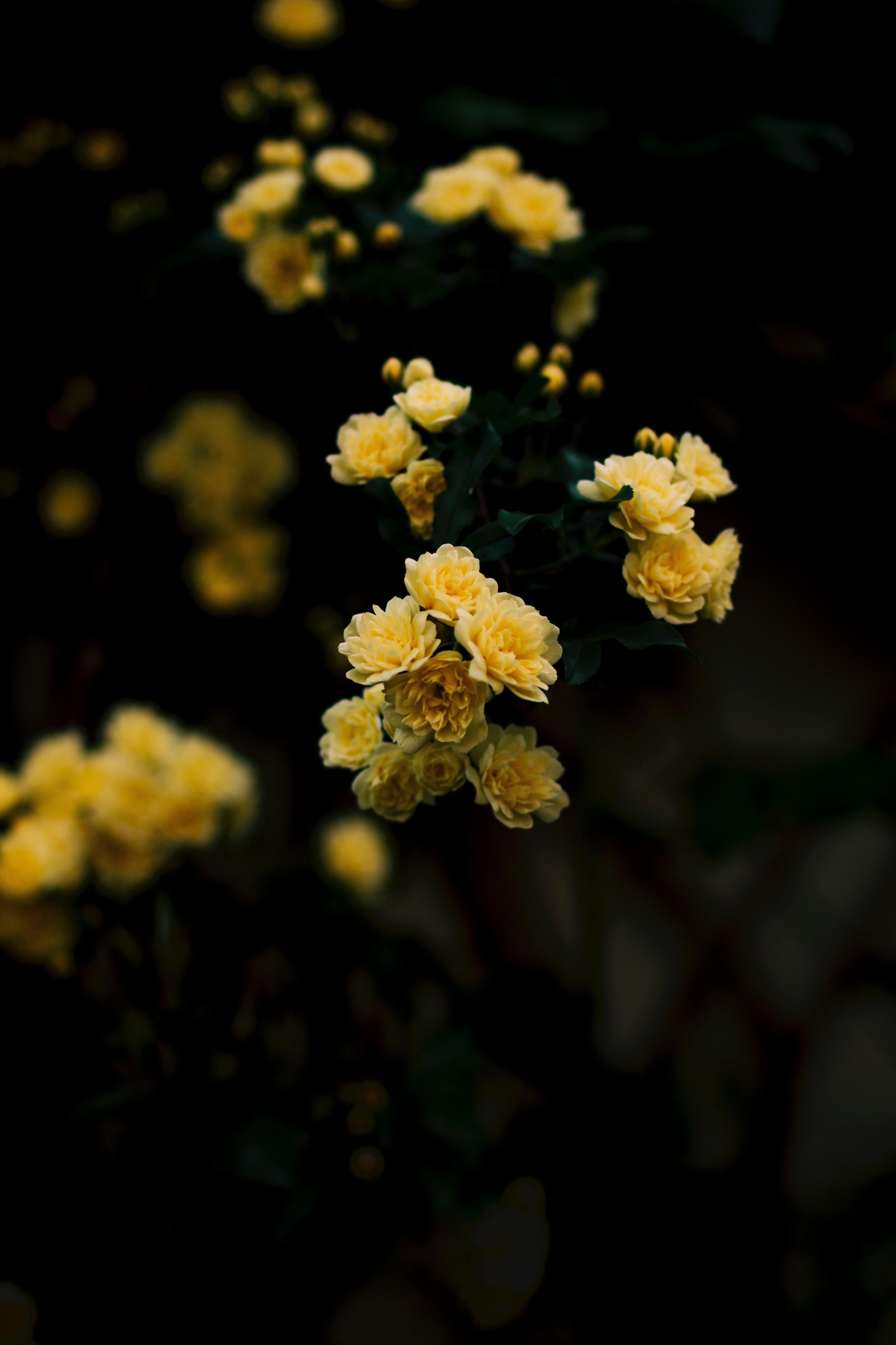 Yellow Rose Iphone Wallpaper Idrop News