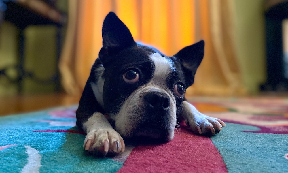 Apple Iphone 11 Dog Portrait Mode 0910191